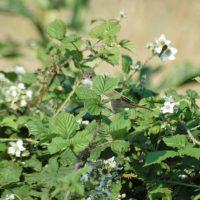 130719tgnr-whitethroat-on-bramble-bush-little-orme