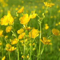 buttercups-in-field