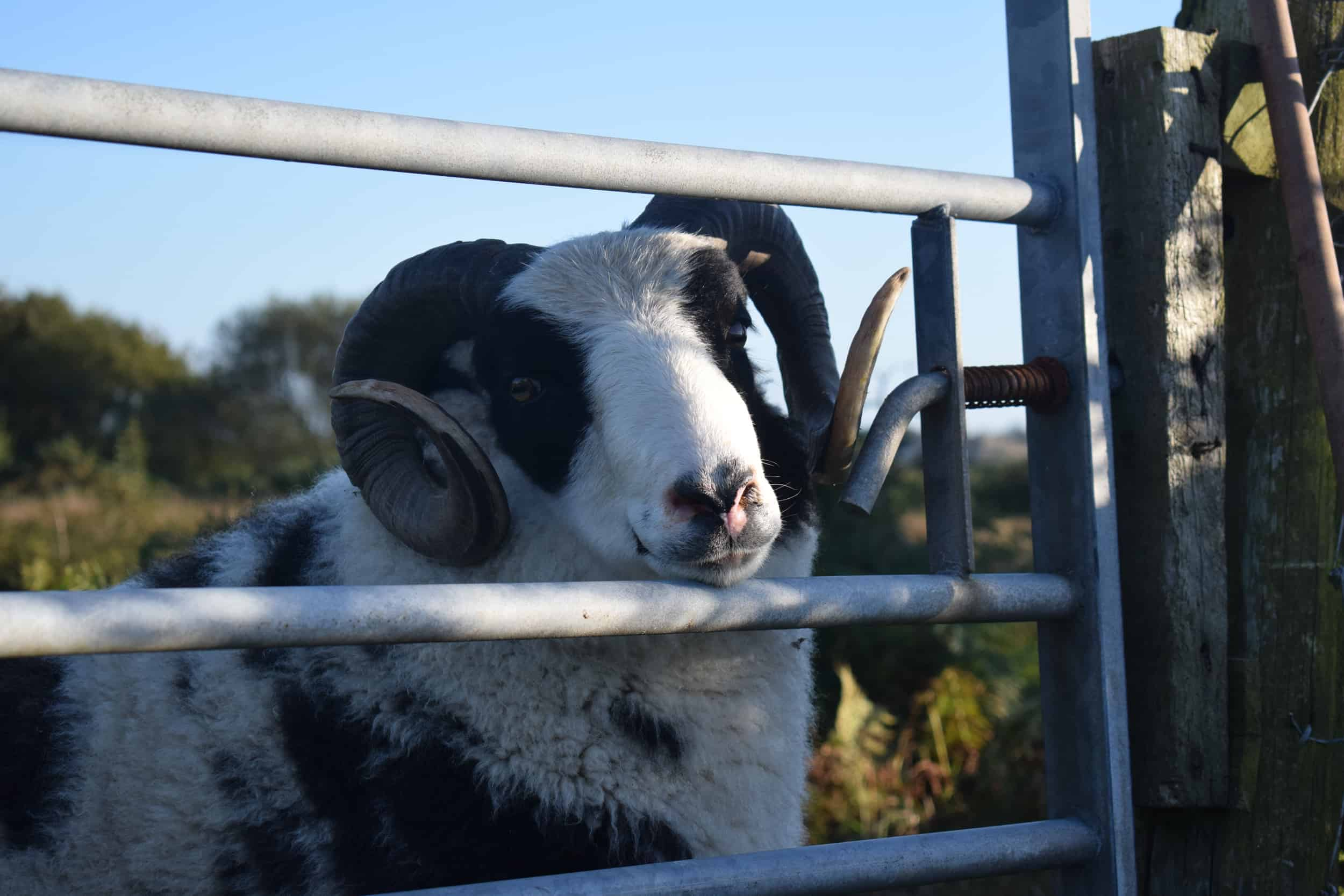 smartie jacob cross shetland sheep spotty ram dalmation sheep handsome british wool black and white 8