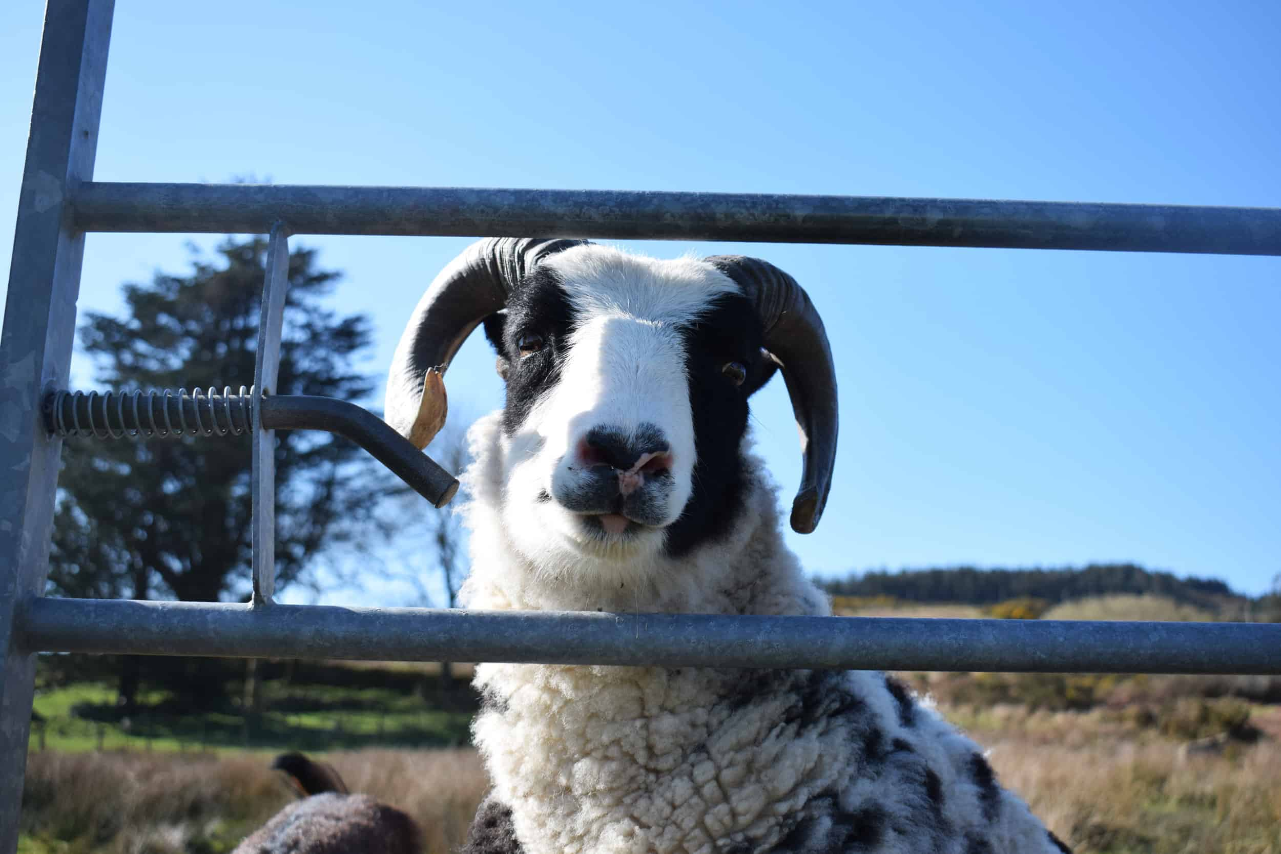smartie jacob cross shetland sheep spotty ram dalmation sheep handsome british wool black and white 3