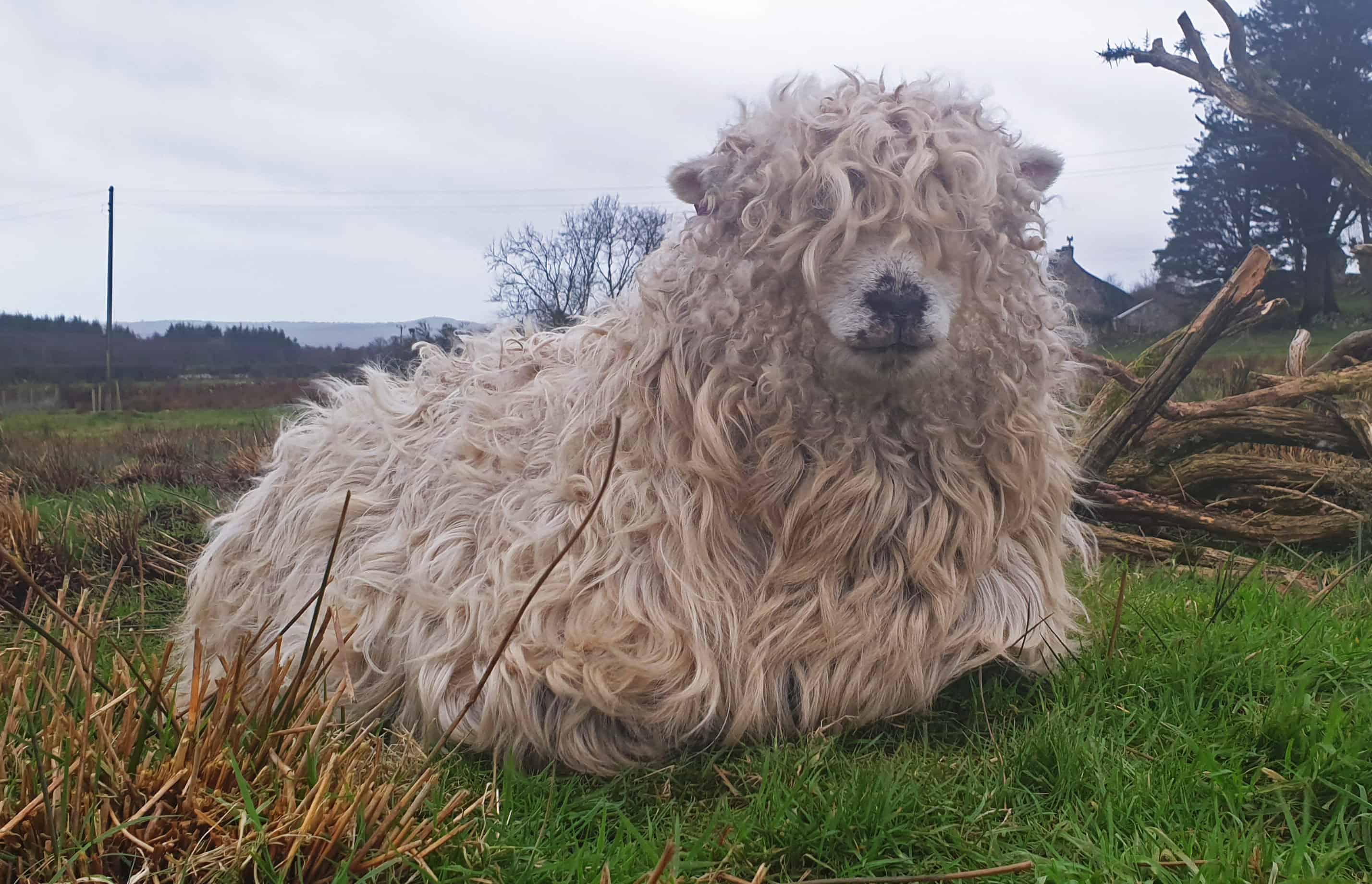 Merry gfd greyface dartmoor cute sheep vegetarian sheepskin rugs fleece grey face