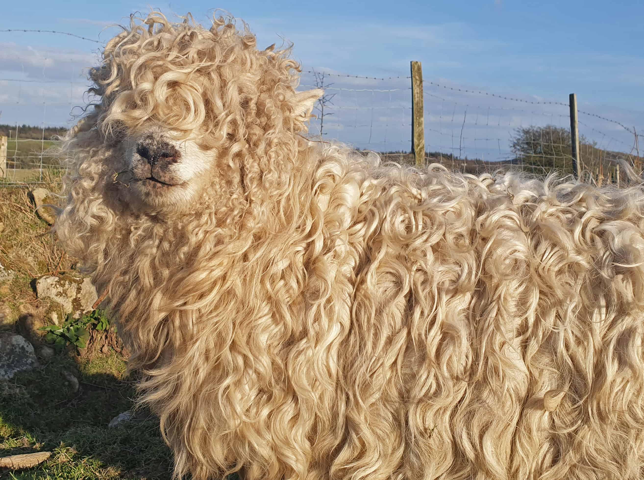 Merry gfd greyface dartmoor cute sheep vegetarian sheepskin rugs fleece grey face 2