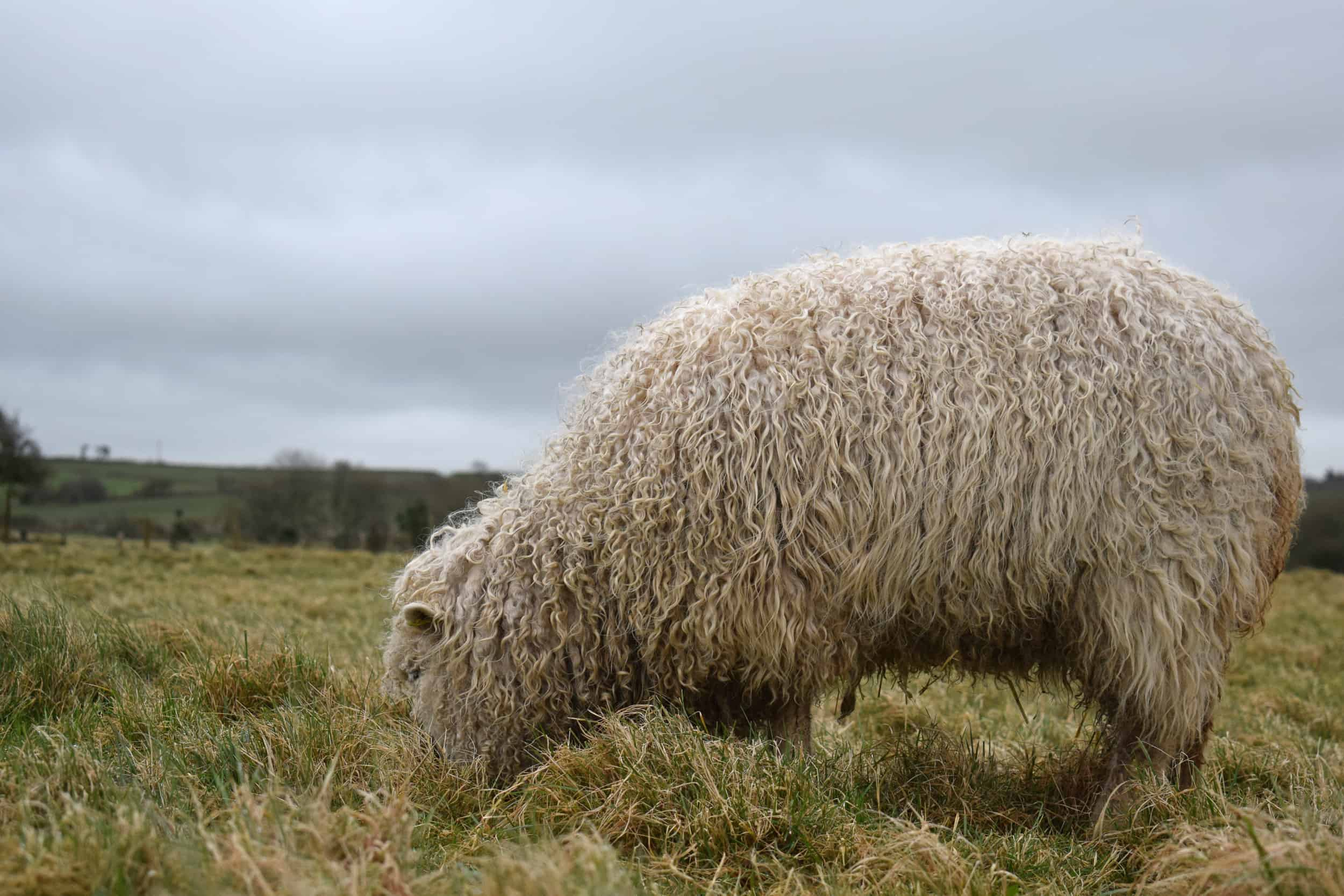 Porridge gotland cross greyface dartmoor sheep longwool patchwork curls white wool 3