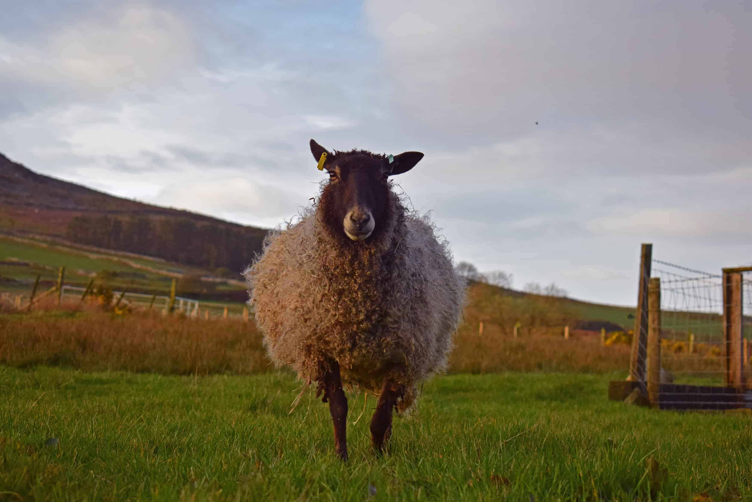 frieda patchwork sheep gotland in lamb pregnant