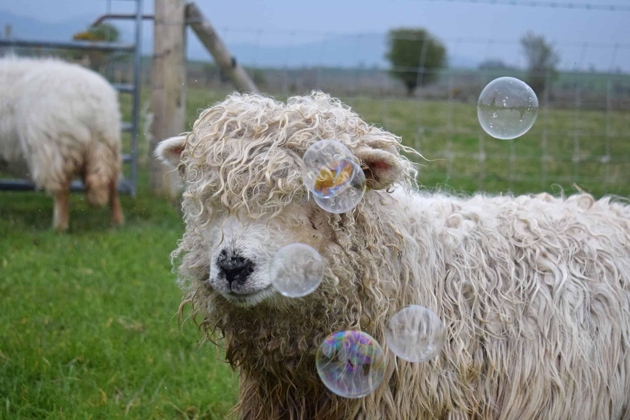 Merry gfd greyface dartmoor cute sheep vegetarian sheepskin rugs fleece grey face bubbles 2 pet sheep