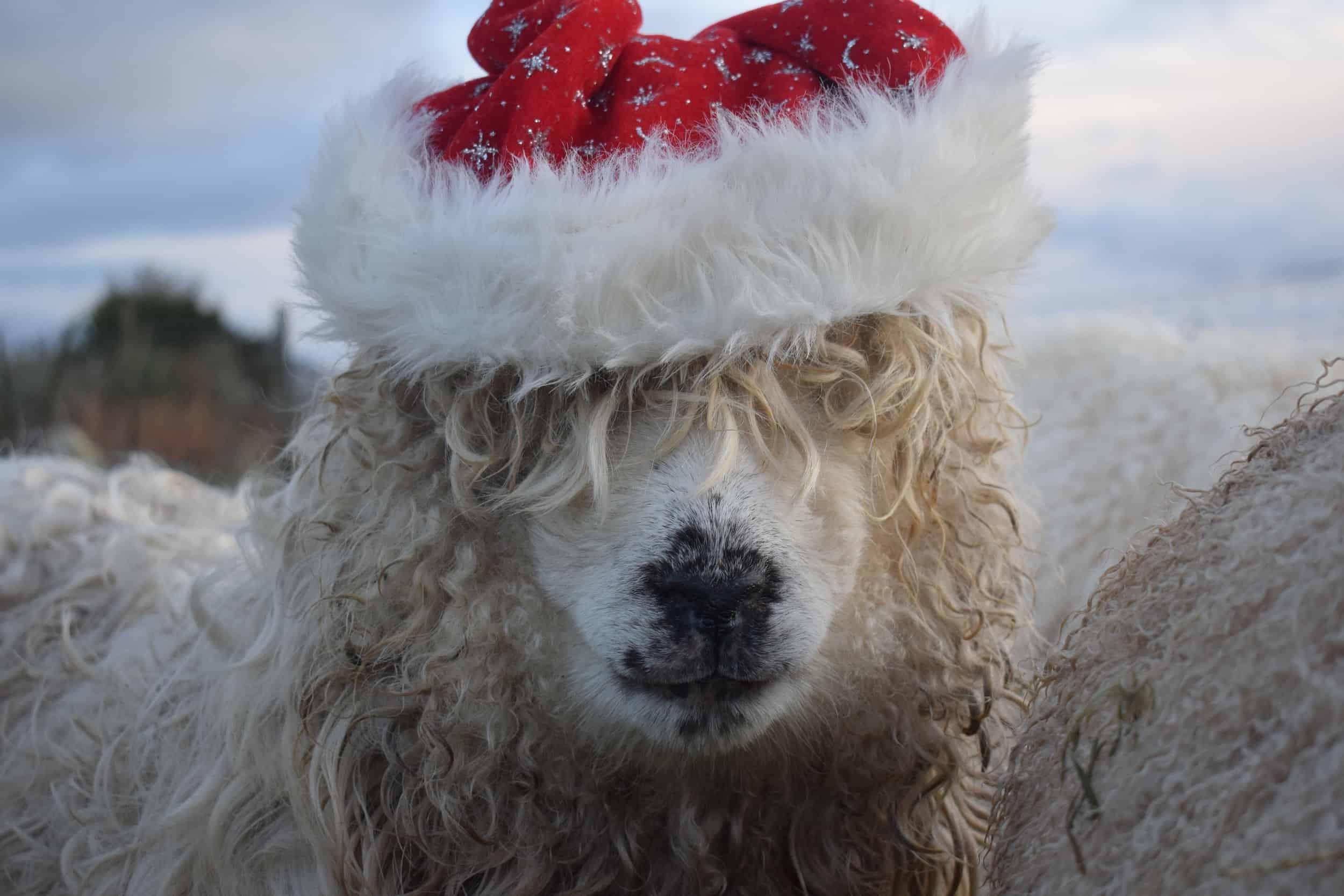 Merry sheep santa hat christmas greyface dartmoor