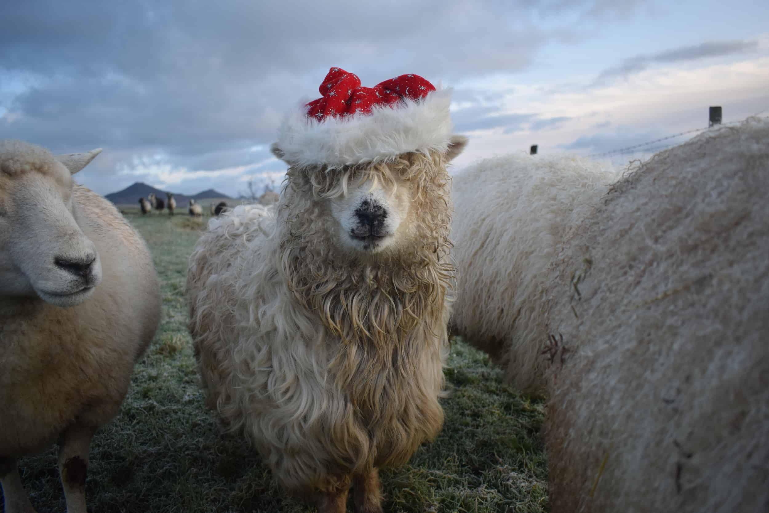 Merry sheep santa hat christmas greyface dartmoor patchwork sheep