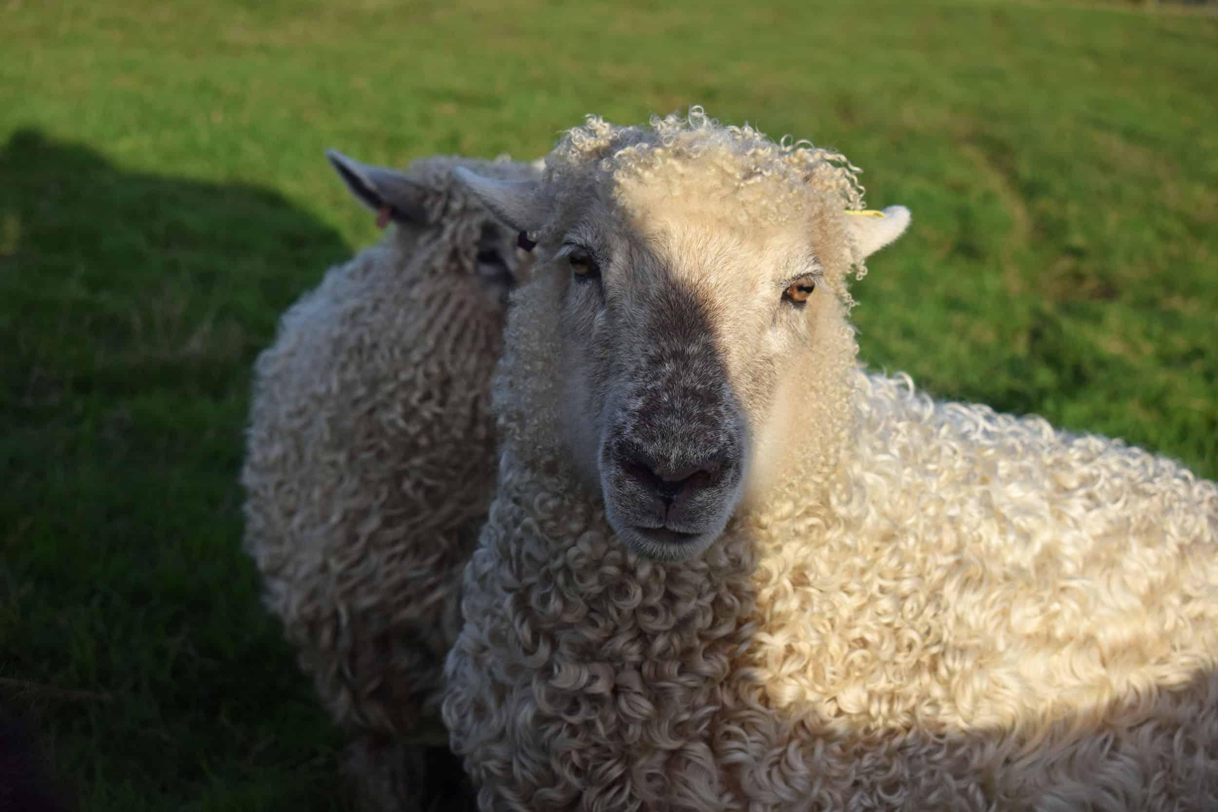 Porridge gotland cross greyface dartmoor sheep longwool patchwork curls white wool