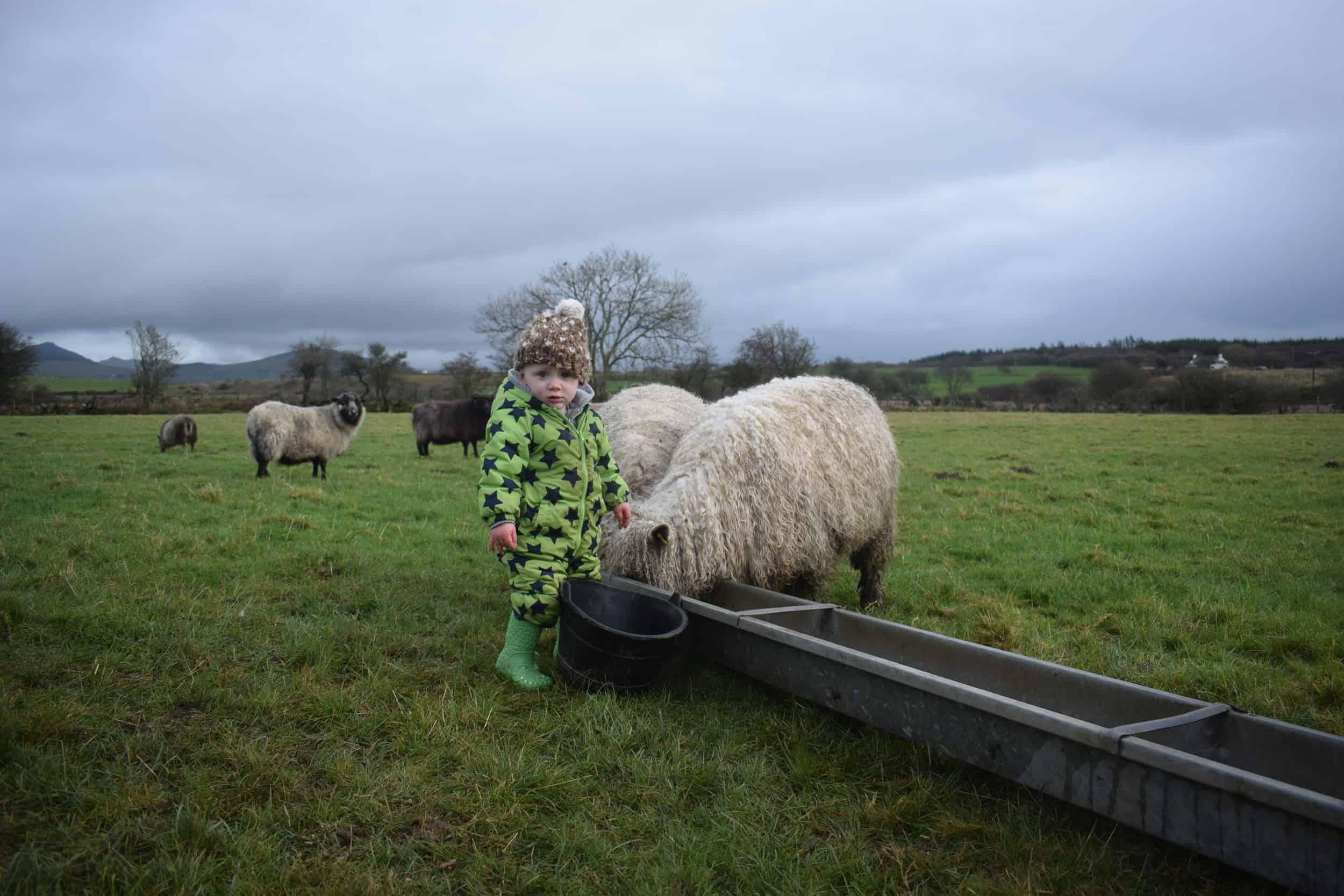 little farmer and alice wensleydale cross greyface dartmoor sheep