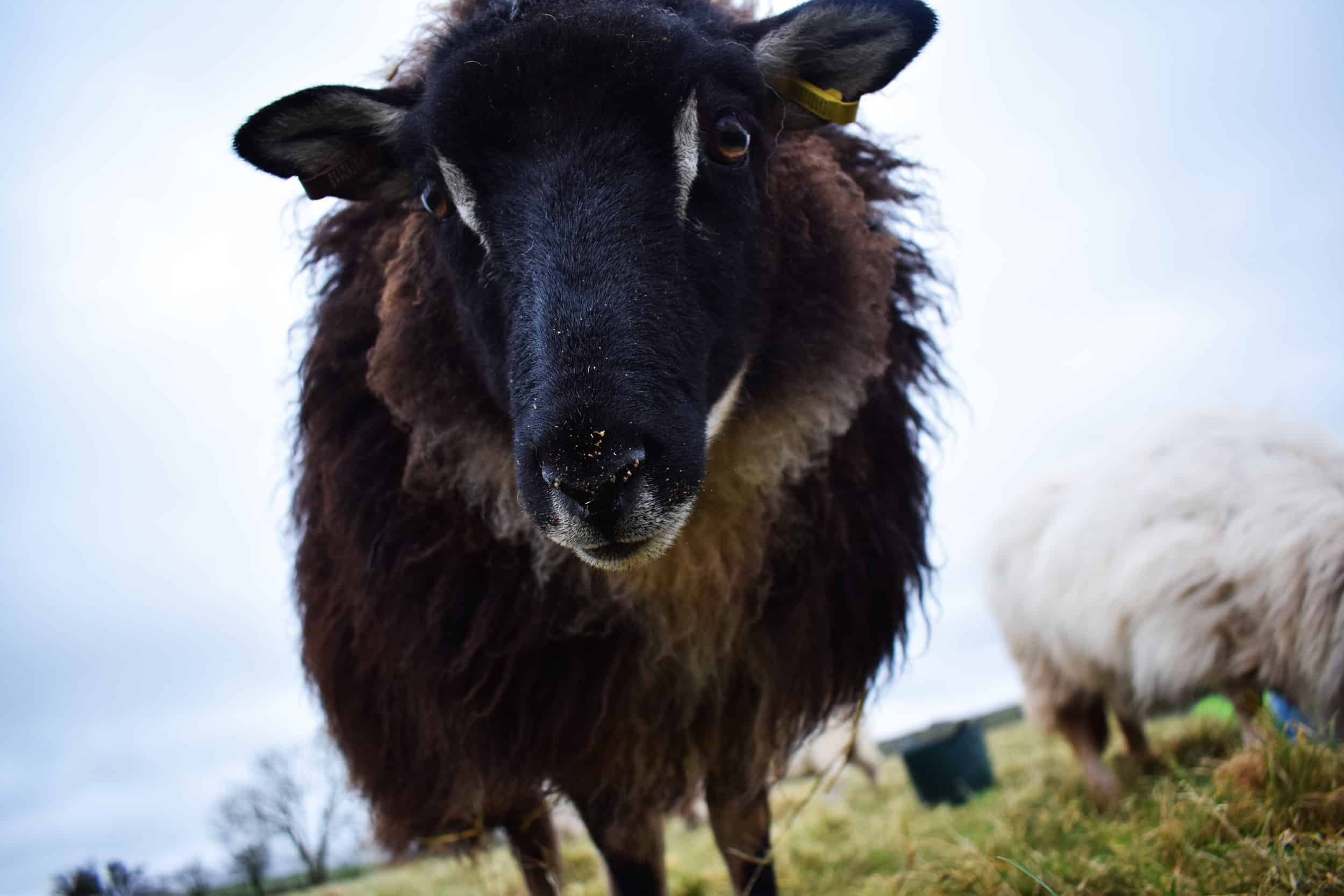 Pepsi mouflon black icelandic cross sheep