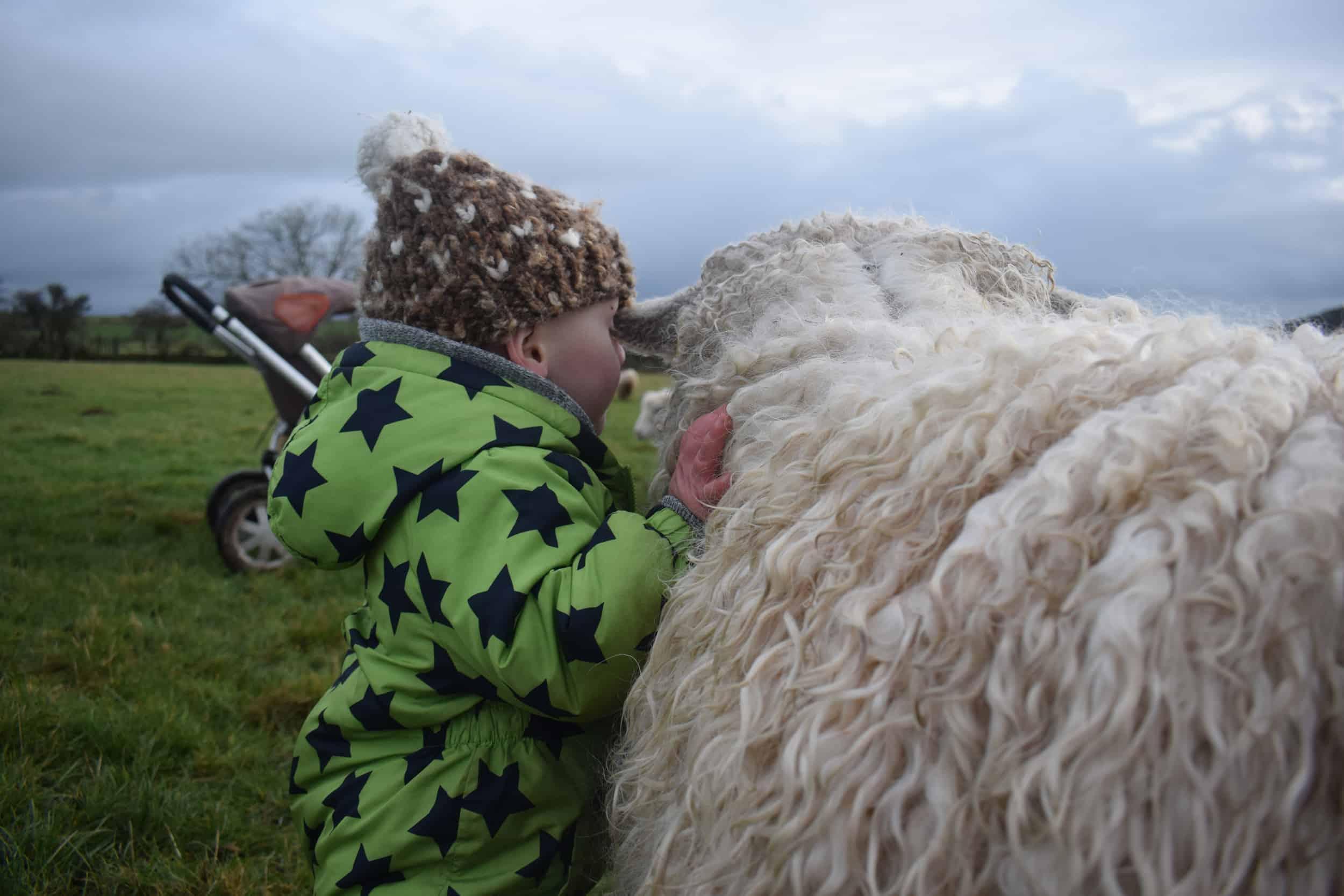 alice and ollie wensleydale cross greyface dartmoor sheep