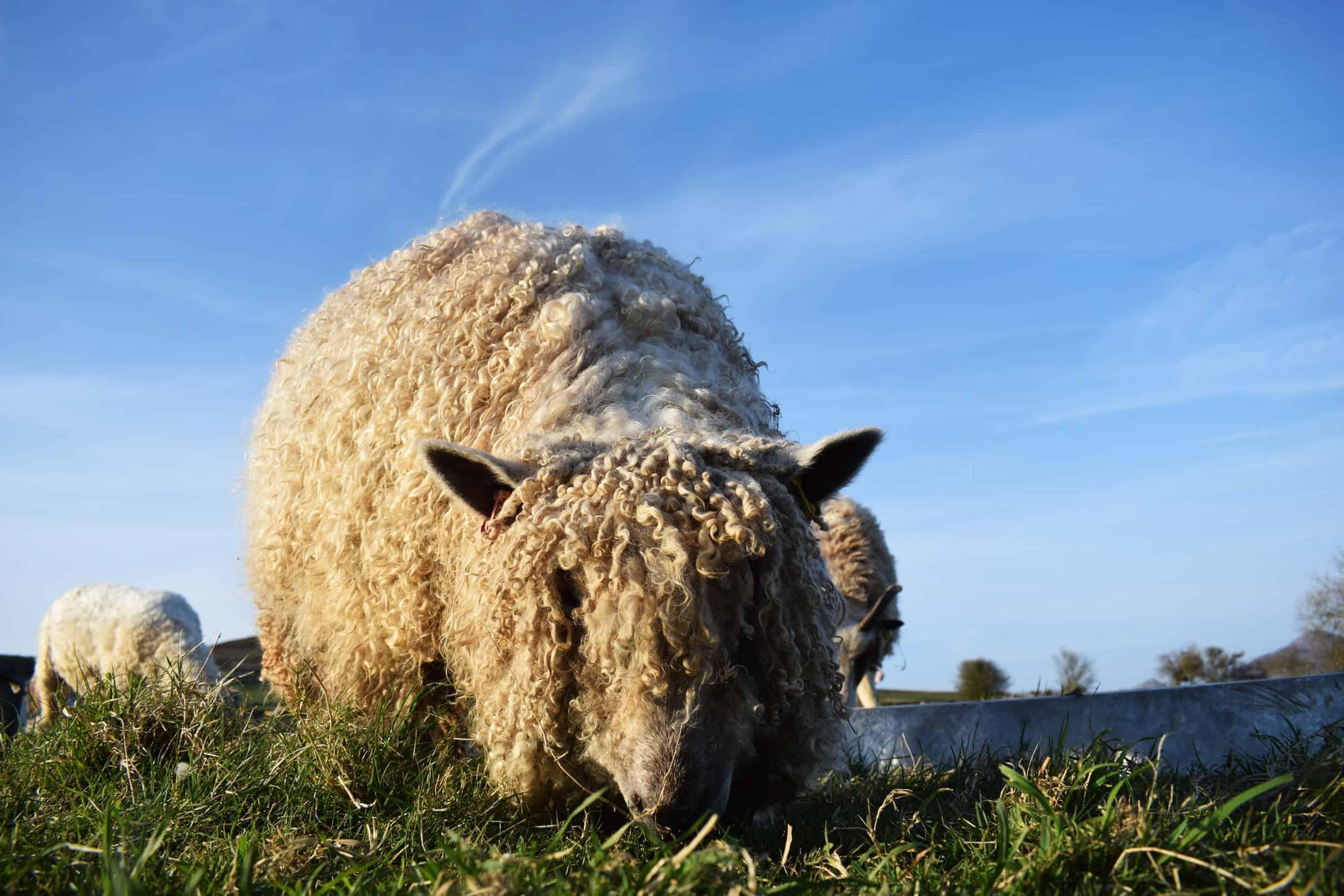 Alice wensleydale cross Greyface Dartommor sheep cute cuddly bear