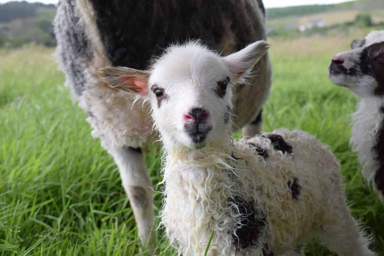 Dotty newborn lamb newlife