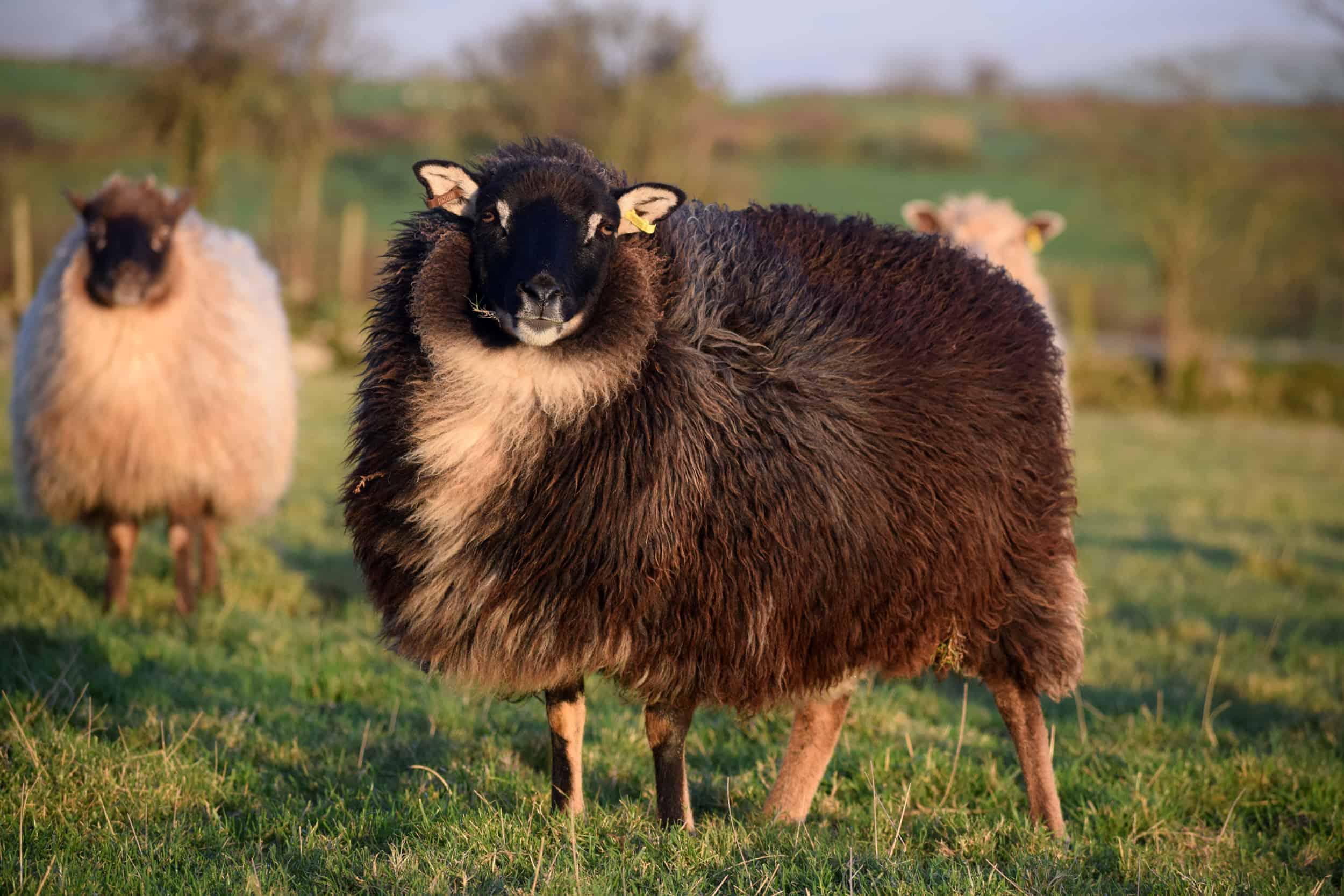 black mouflon icelandic cross