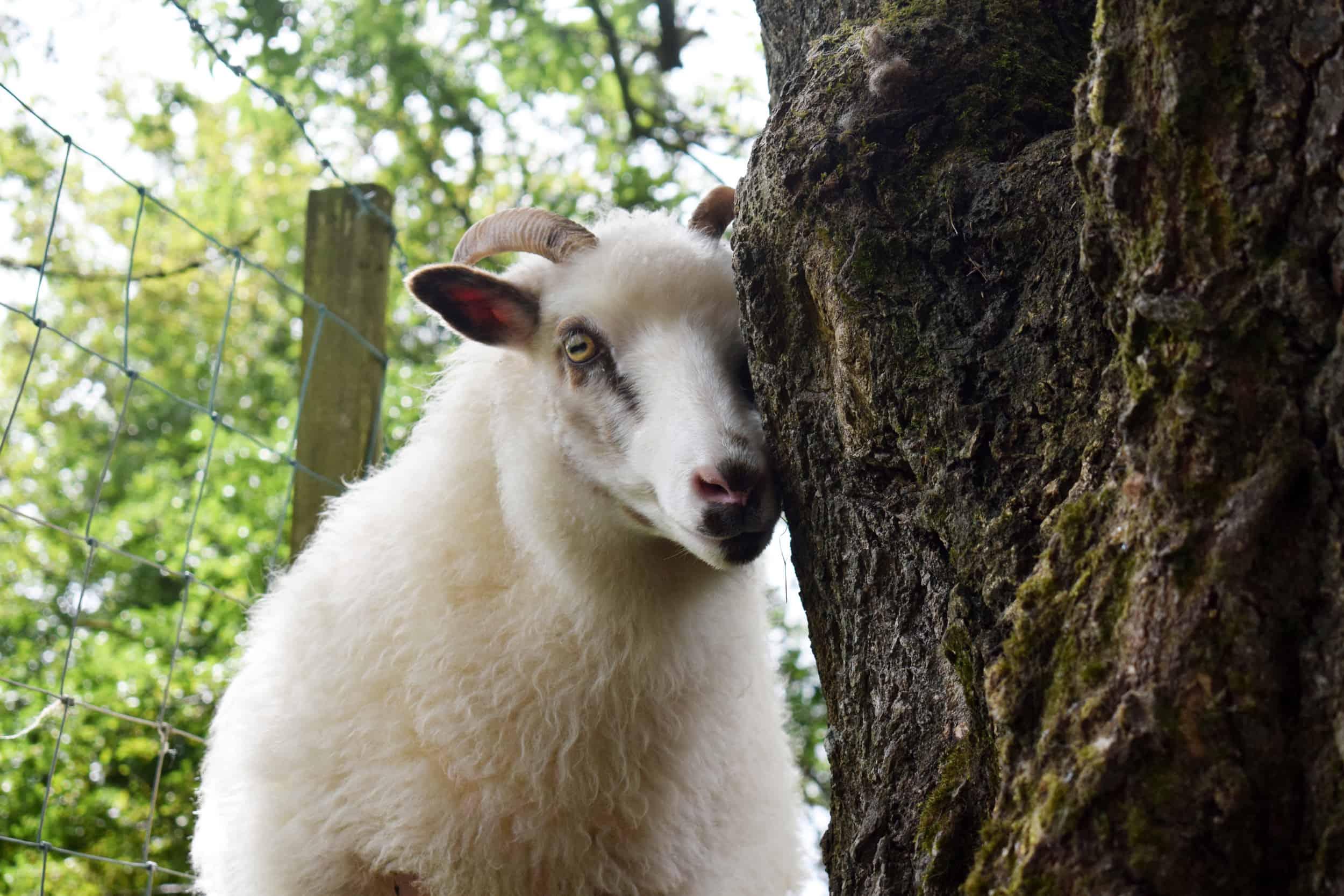 dotty icelandic cross sheep