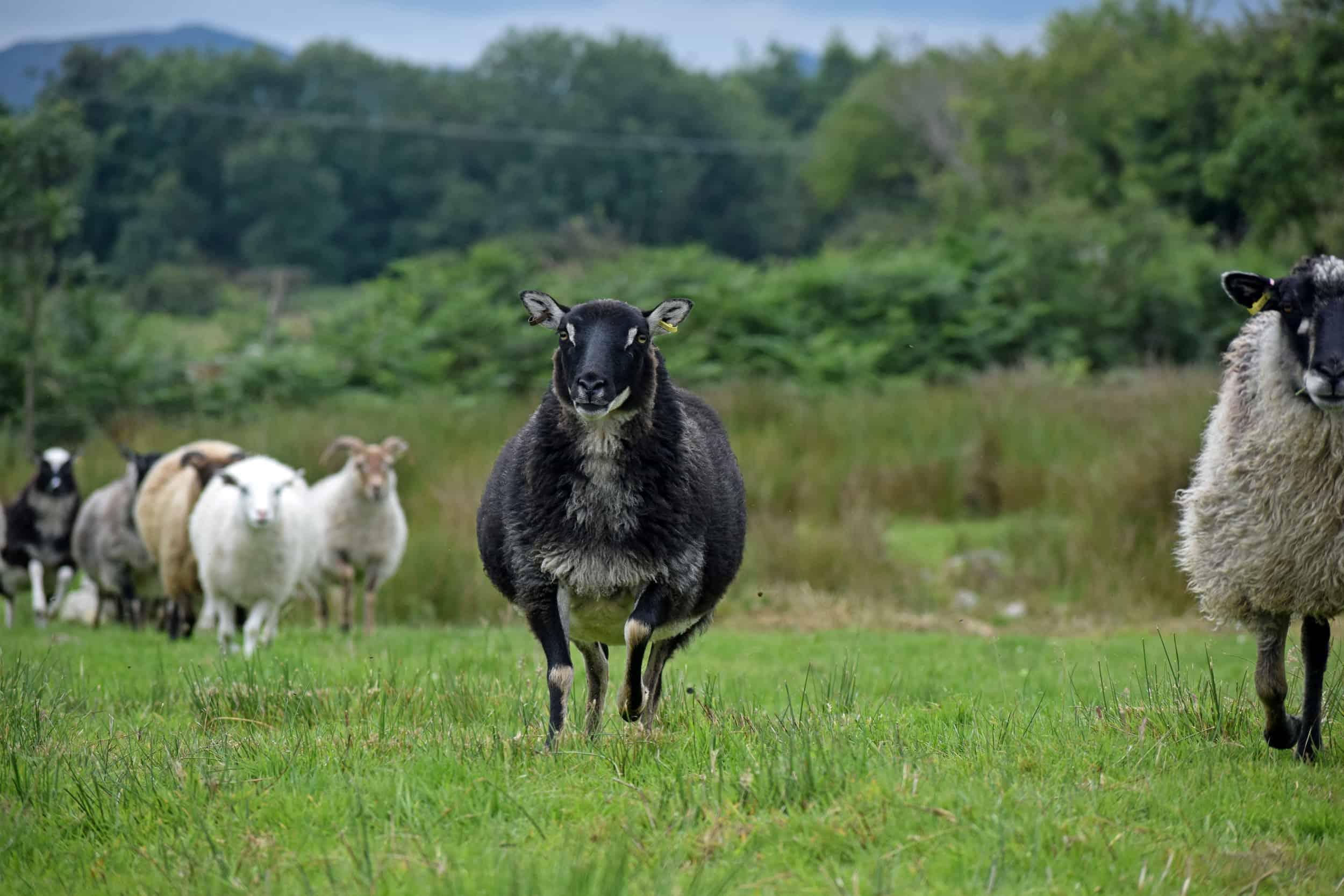 pepsi black mouflon