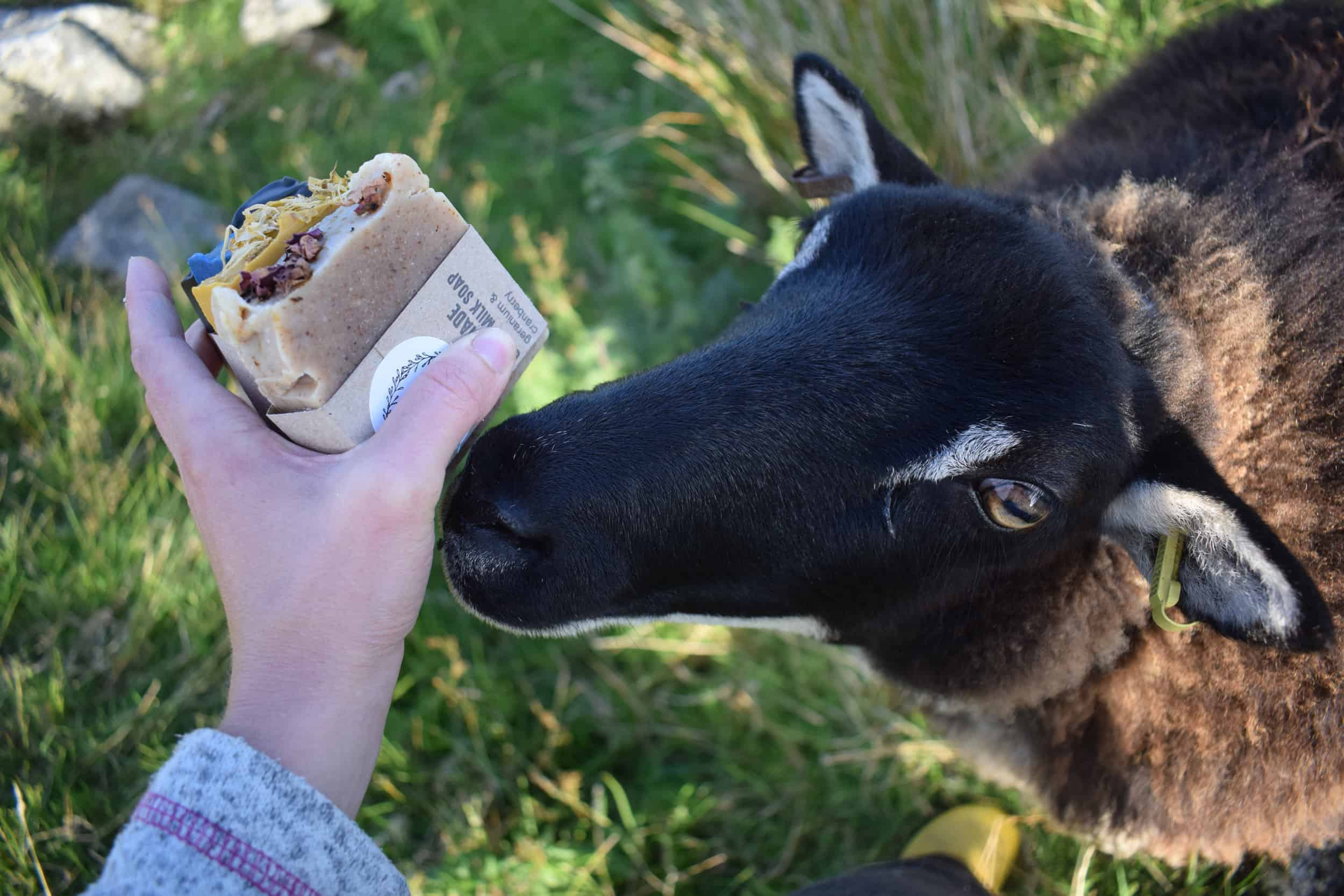 Pepsi mouflon icelandic cross sheep soay goat soap 1