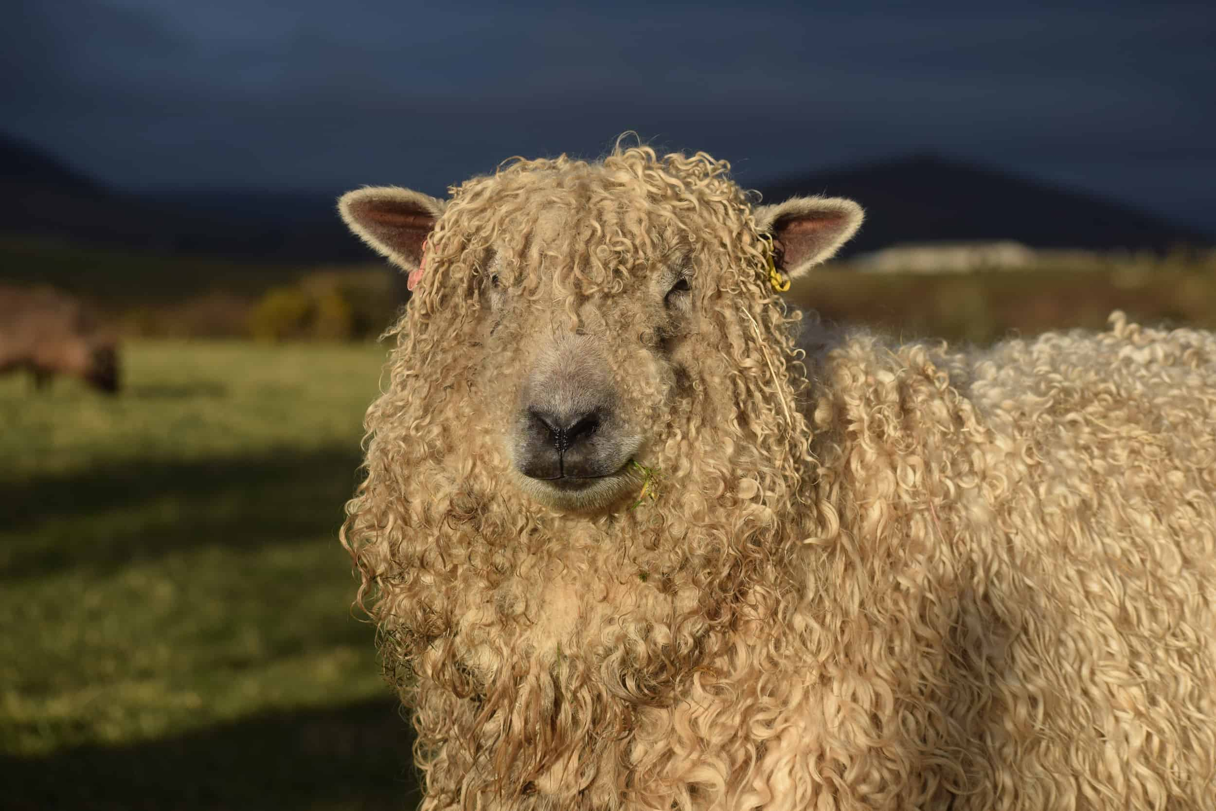 Alice patchwork sheep wensleydale cross greyface dartmoor gfd wool fiber
