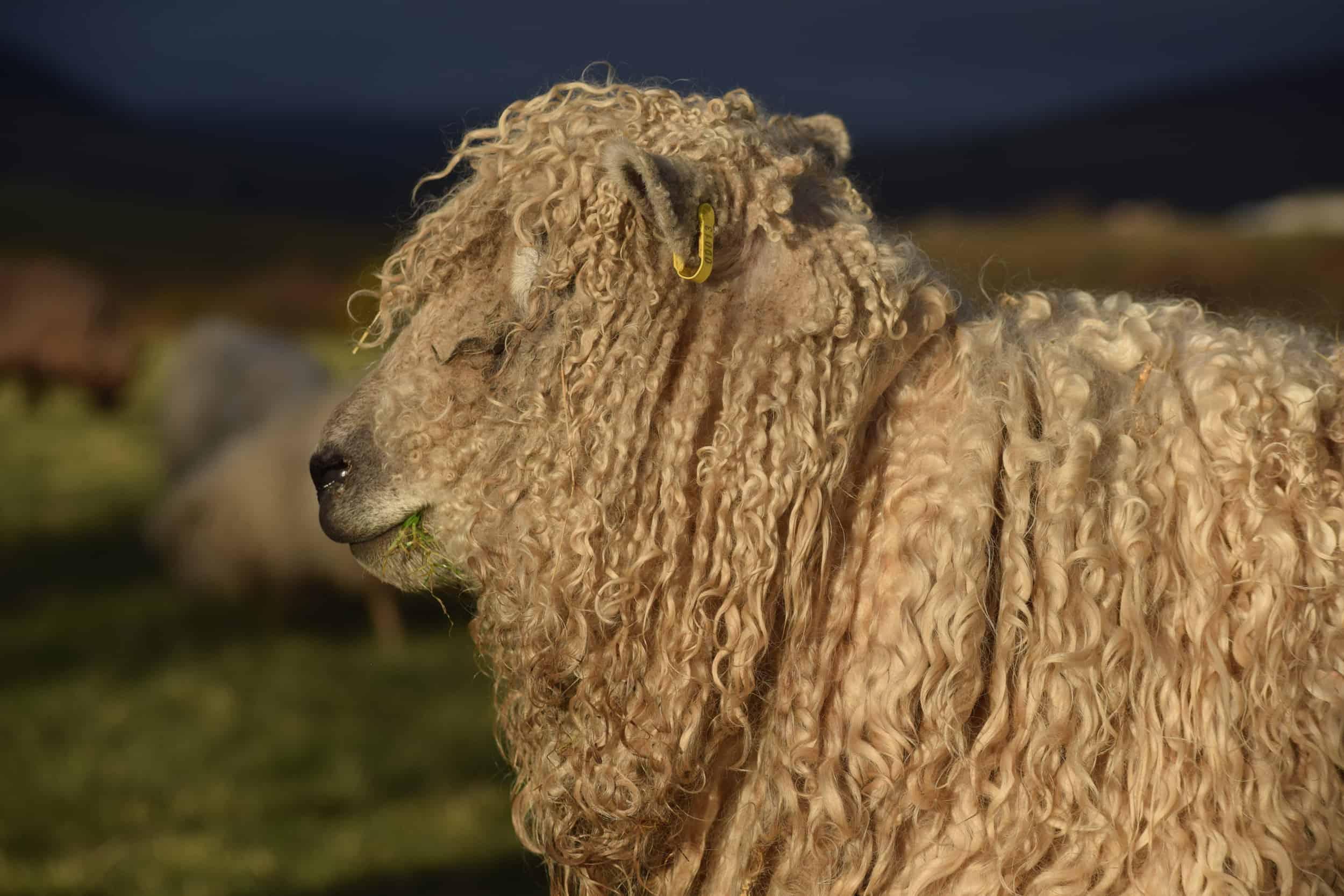 Alice patchwork sheep wensleydale cross greyface dartmoor gfd