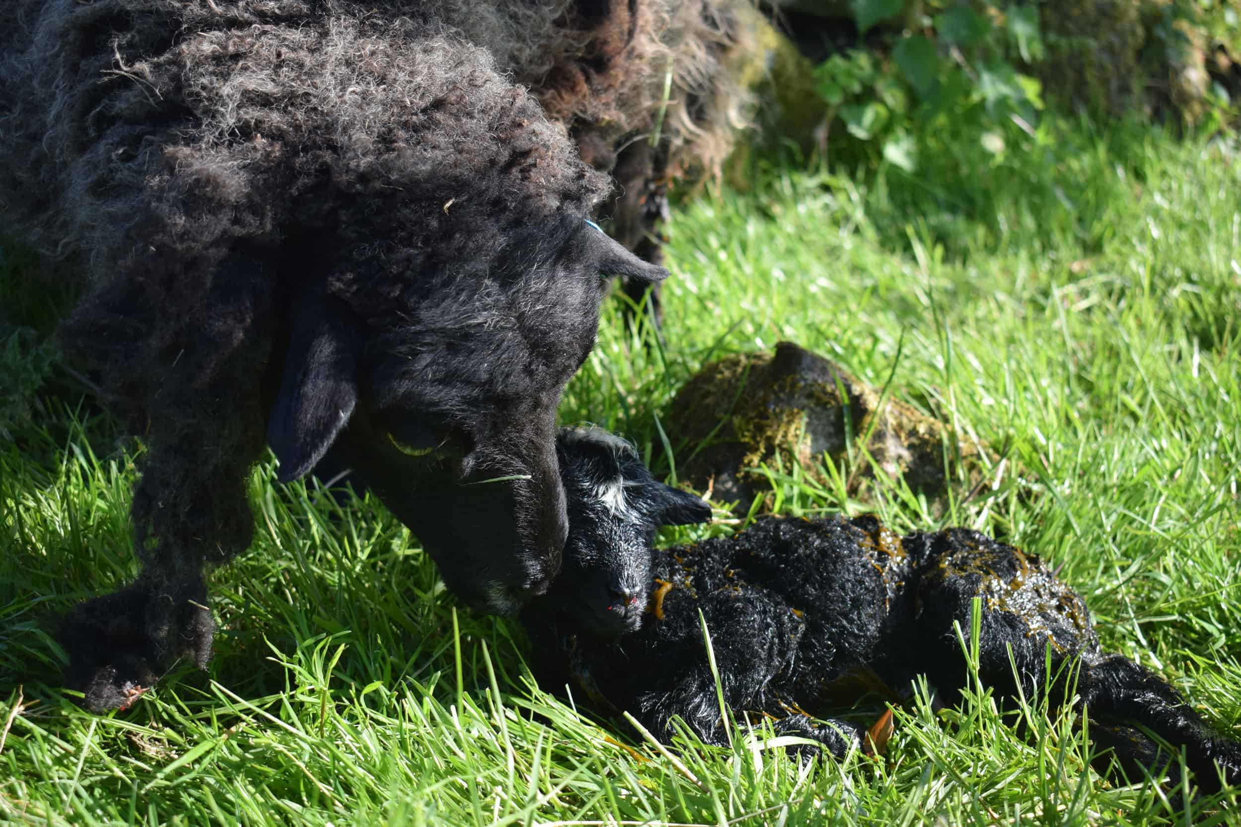 Currant black shetland sheep grandma kind fibre wool crafts raisin old mum