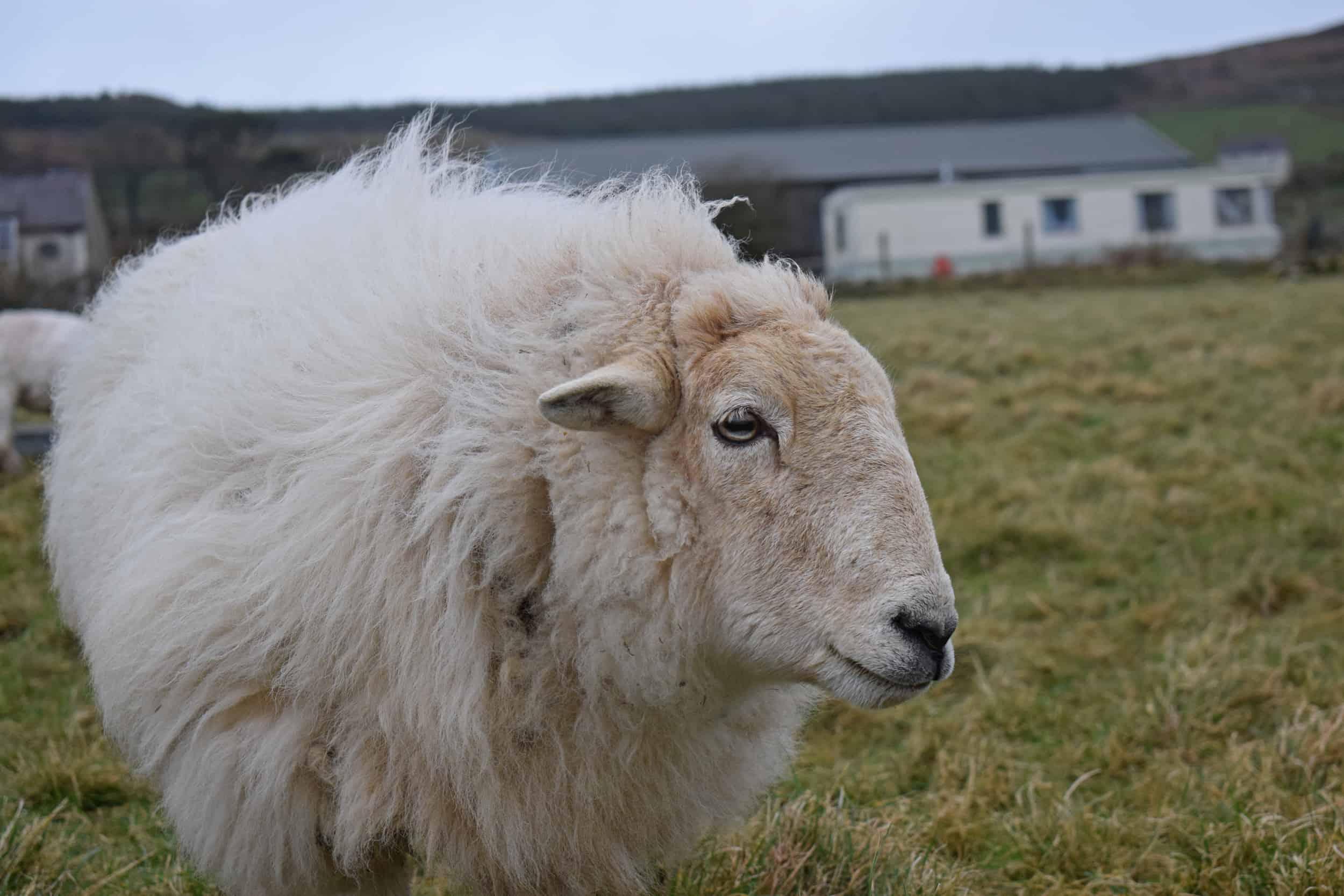 Nettle Welsh mountain hill sheep ewe old welsh wool rugs woven handmade 6