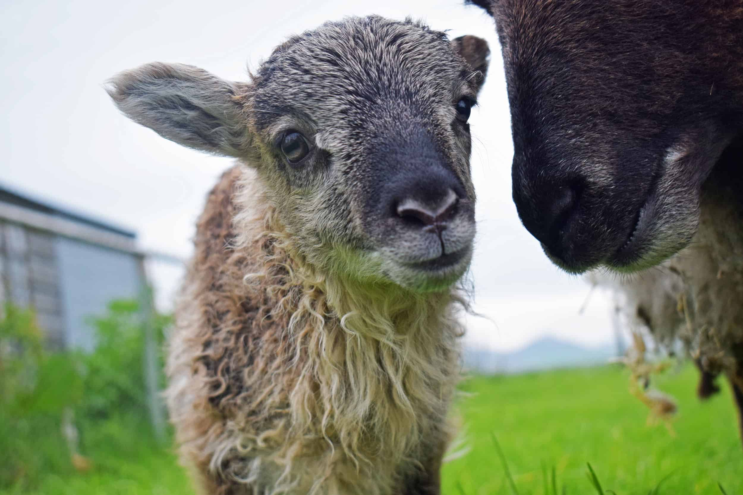 Elder lamb frosted grey mouflon icelandioc cross soay shetland sheep 2
