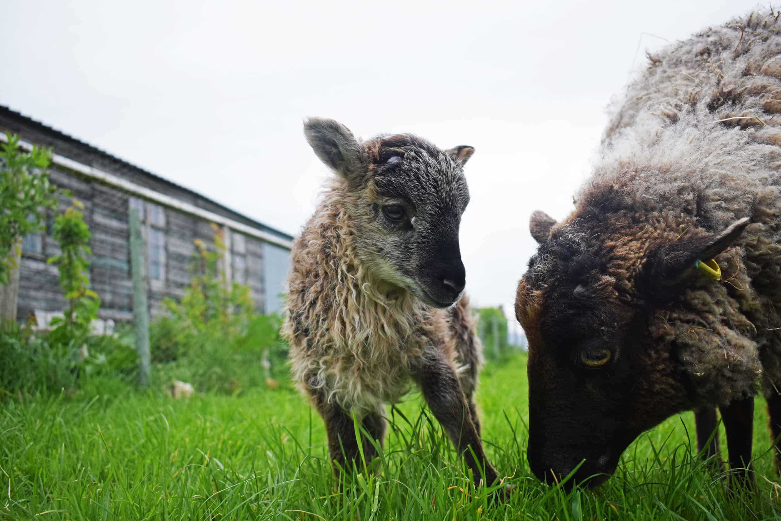 Elder lamb frosted grey mouflon icelandioc cross soay shetland sheep