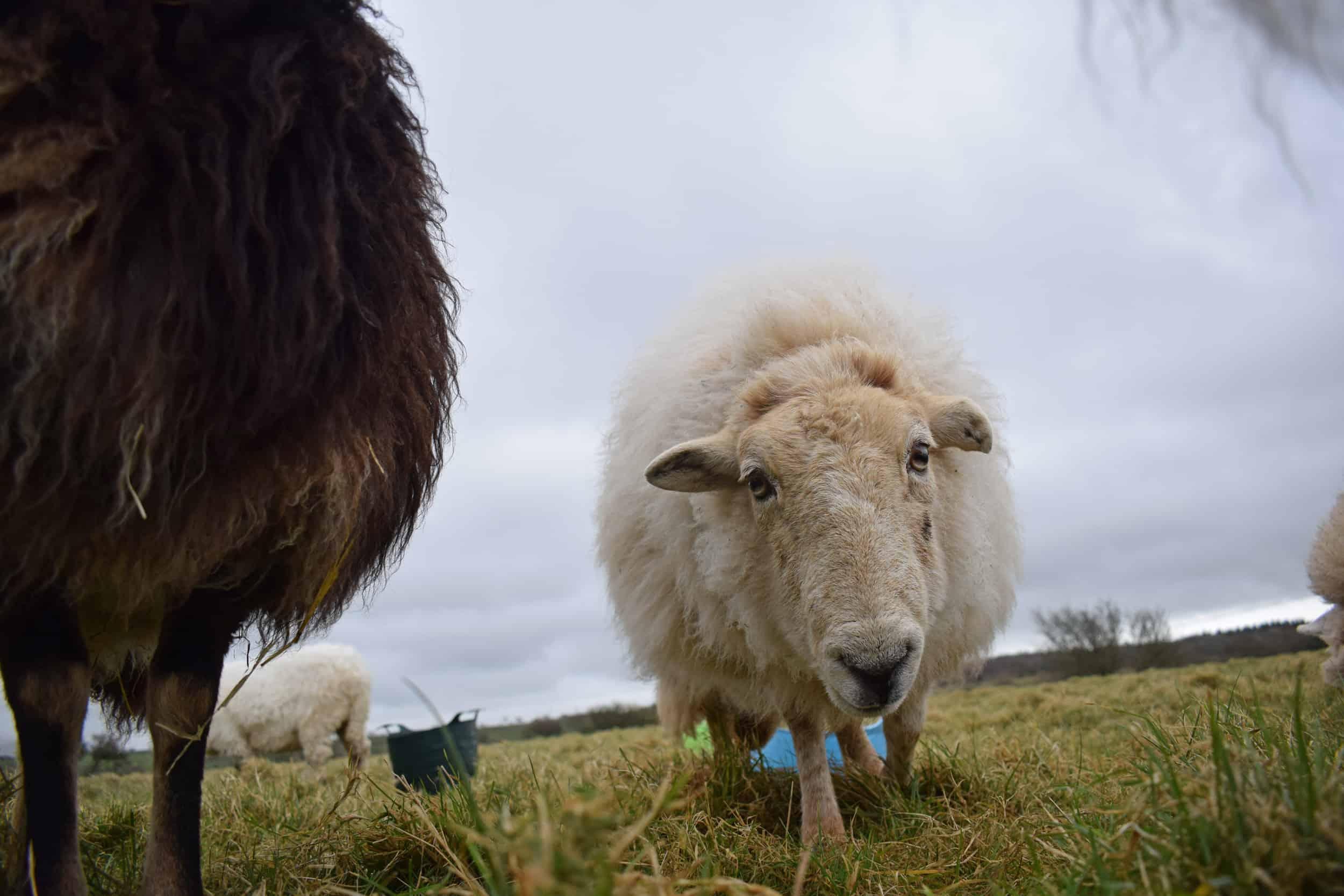 Nettle Welsh mountain hill sheep ewe old welsh wool rugs woven handmade 5