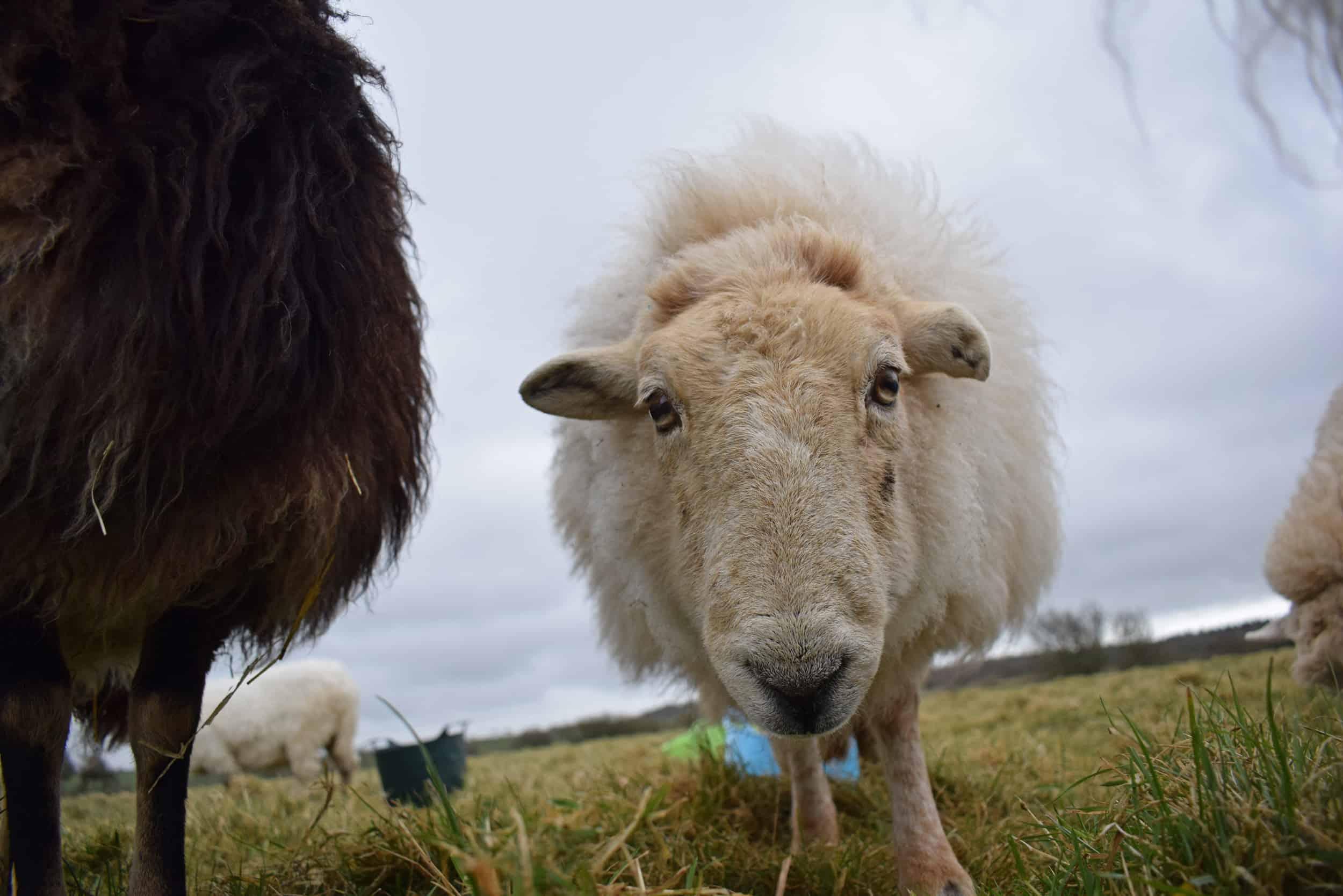 Nettle Welsh mountain hill sheep ewe old welsh wool rugs woven handmade 4