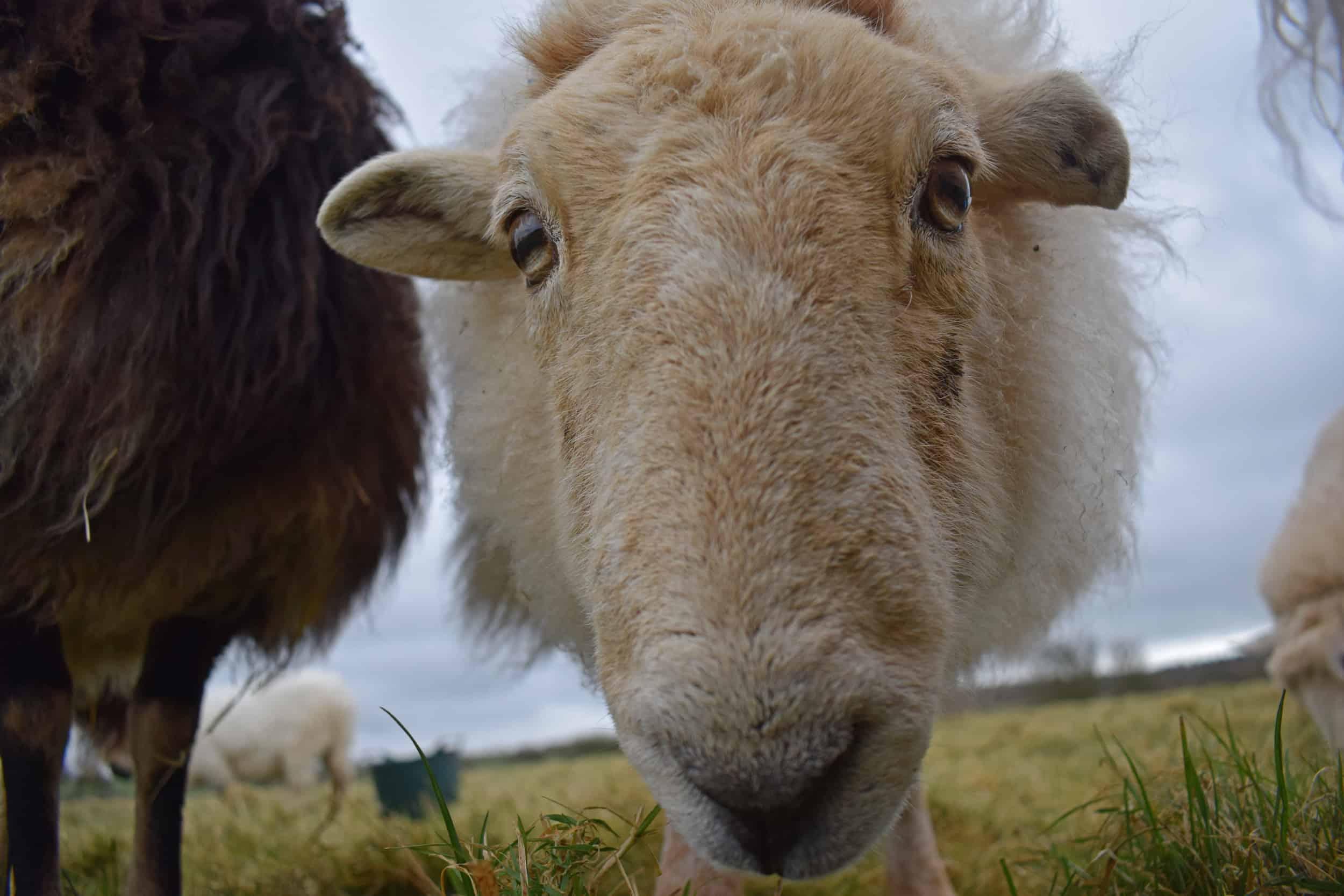 Nettle Welsh mountain hill sheep ewe old welsh wool rugs woven handmade 2