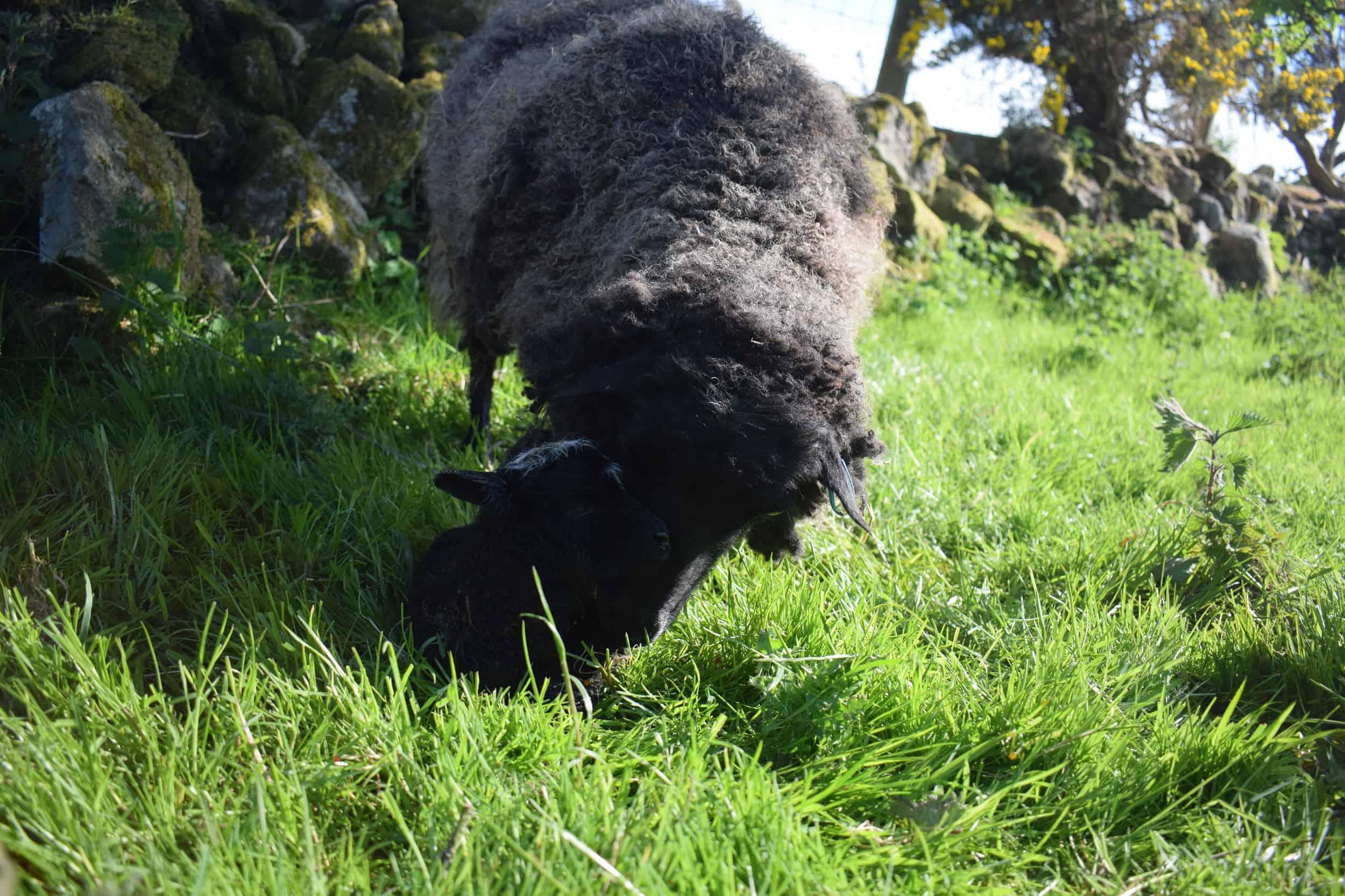 Currant black shetland sheep grandma kind fibre wool crafts raisin new mum again