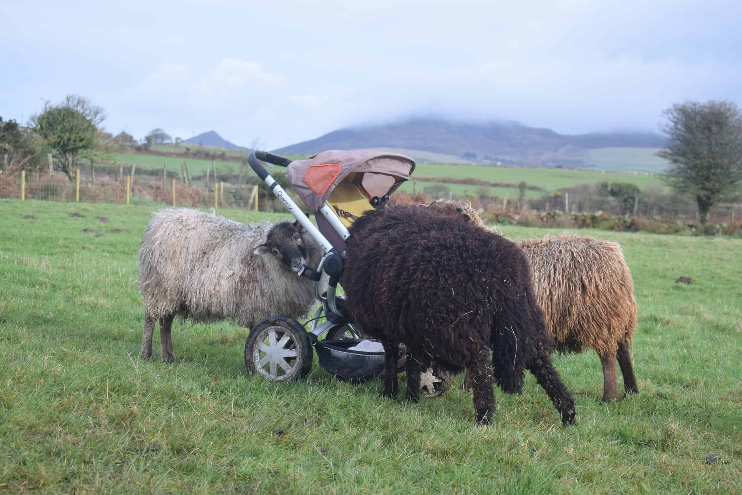 Elder sheep baby pet kind fibre wool icelandic sheep
