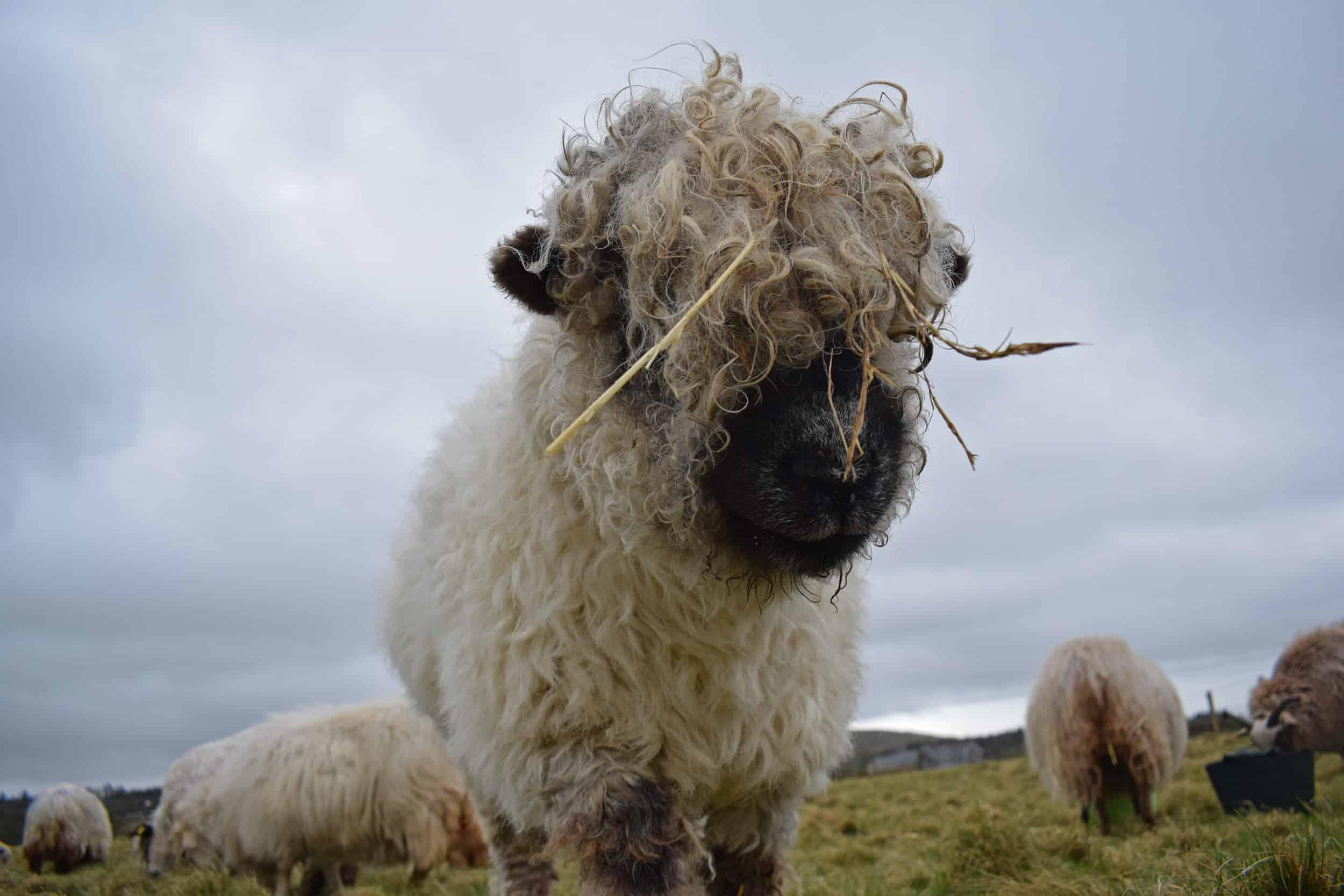 Nora Valais Blacknose Cross greyface dartmoor silvernose cute pet sheep wool