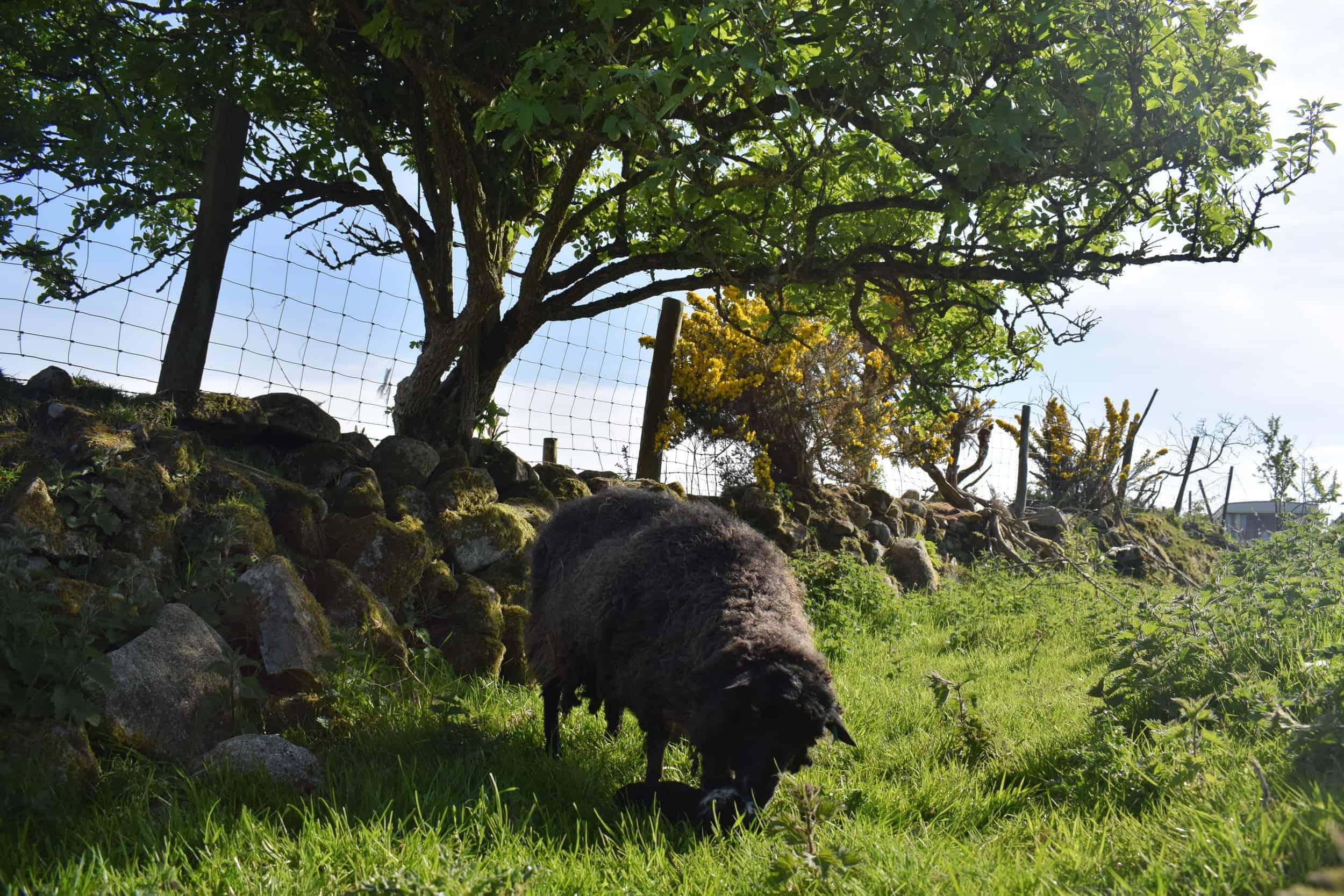 Currant black shetland sheep grandma kind fibre wool crafts under the elder