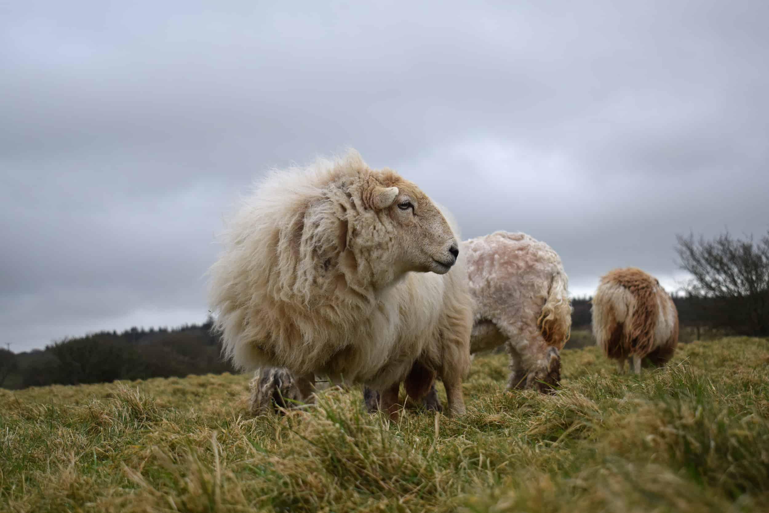 Nettle Welsh mountain hill sheep ewe old welsh wool rugs woven handmade 3