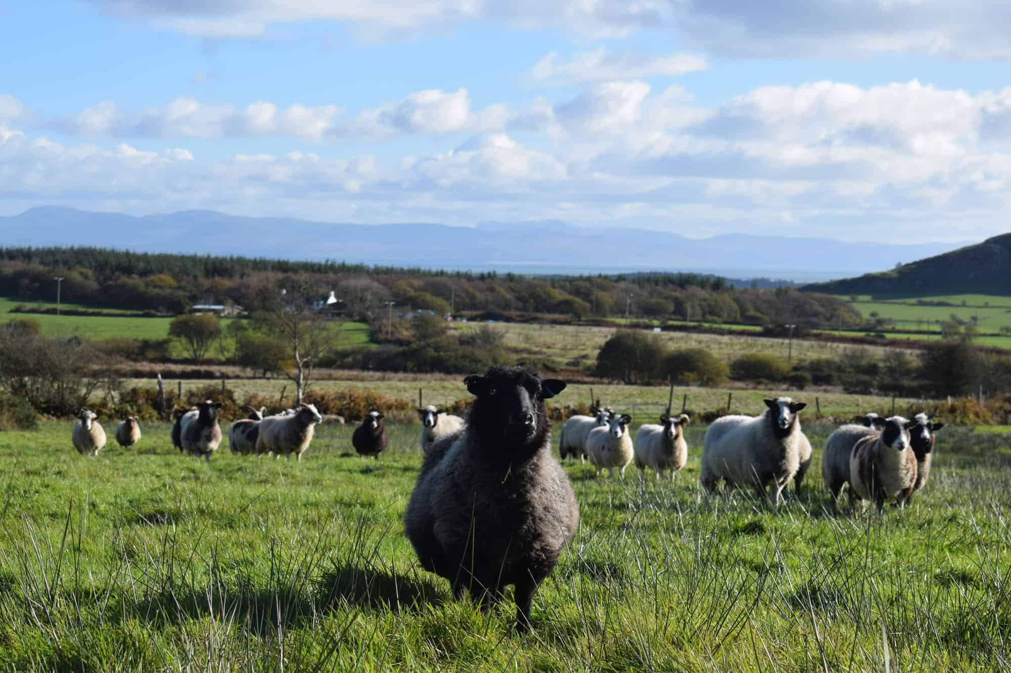 Currant black shetland sheep grandma kind fibre wool crafts leader