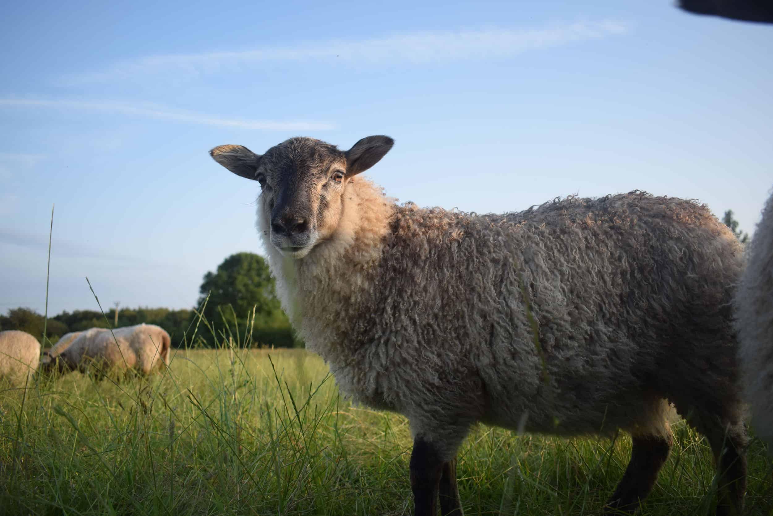 Elder lamb fleece frosted grey mouflon
