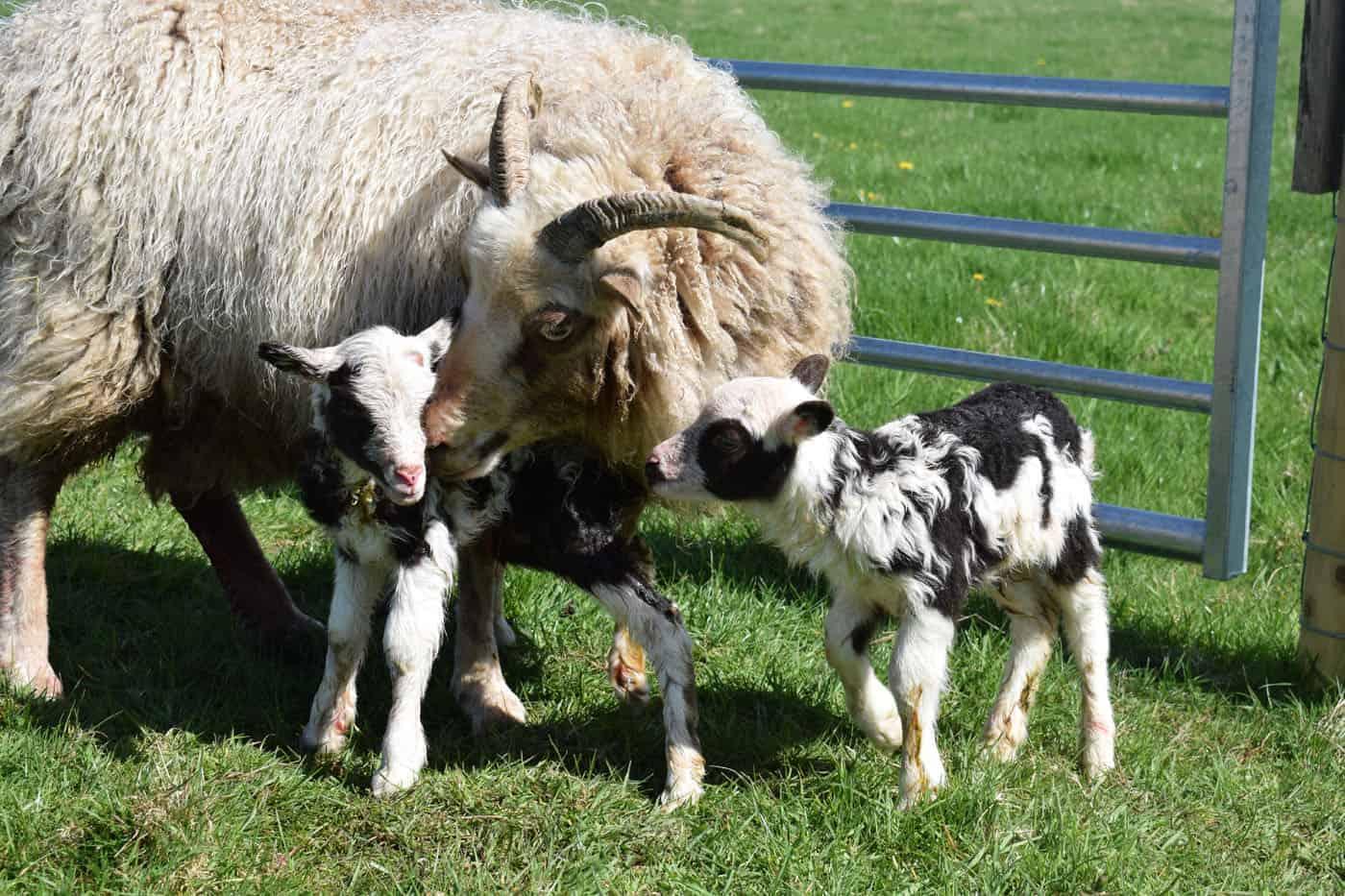 Posy pet lamb sheep friennd moorit spotted soay cross sheep martha pip