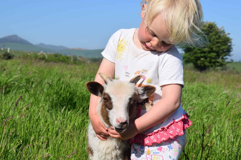 Posy pet lamb sheep friennd moorit spotted soay cross sheep