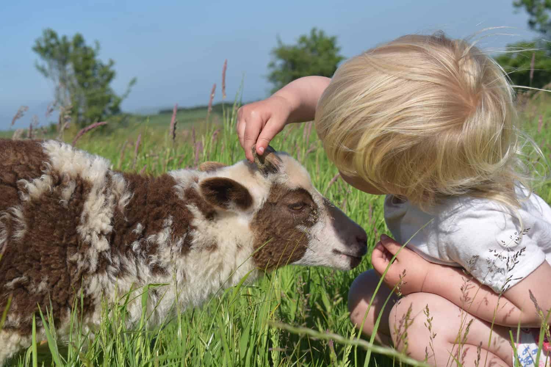 Posy pet lamb sheep friennd moorit spotted soay cross sheep 2