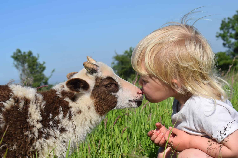 Posy pet lamb sheep friennd moorit spotted soay cross sheep kiss