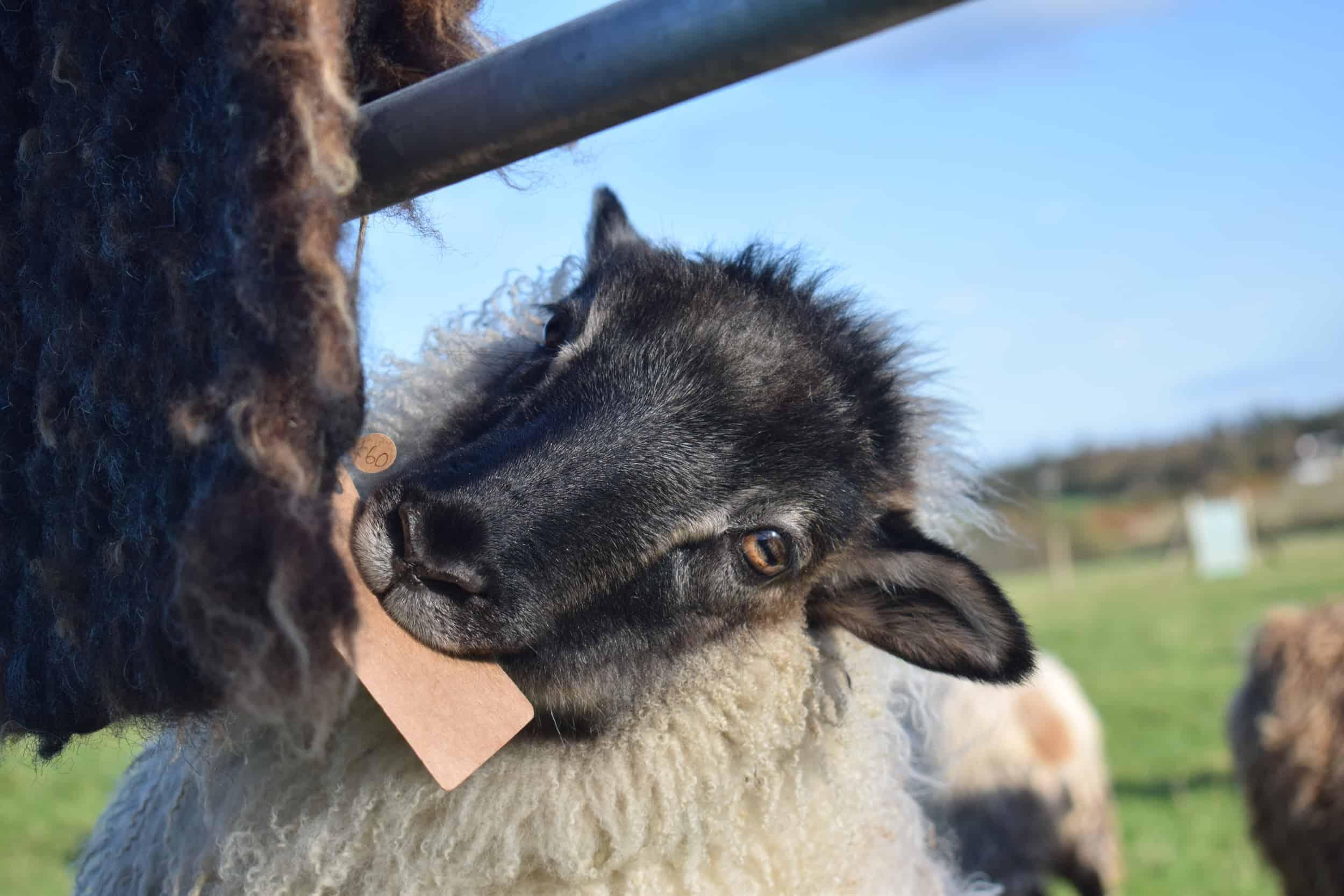 Elder herdwich pegloom wool rug bedside mat handmade natural wool icelandic sheep