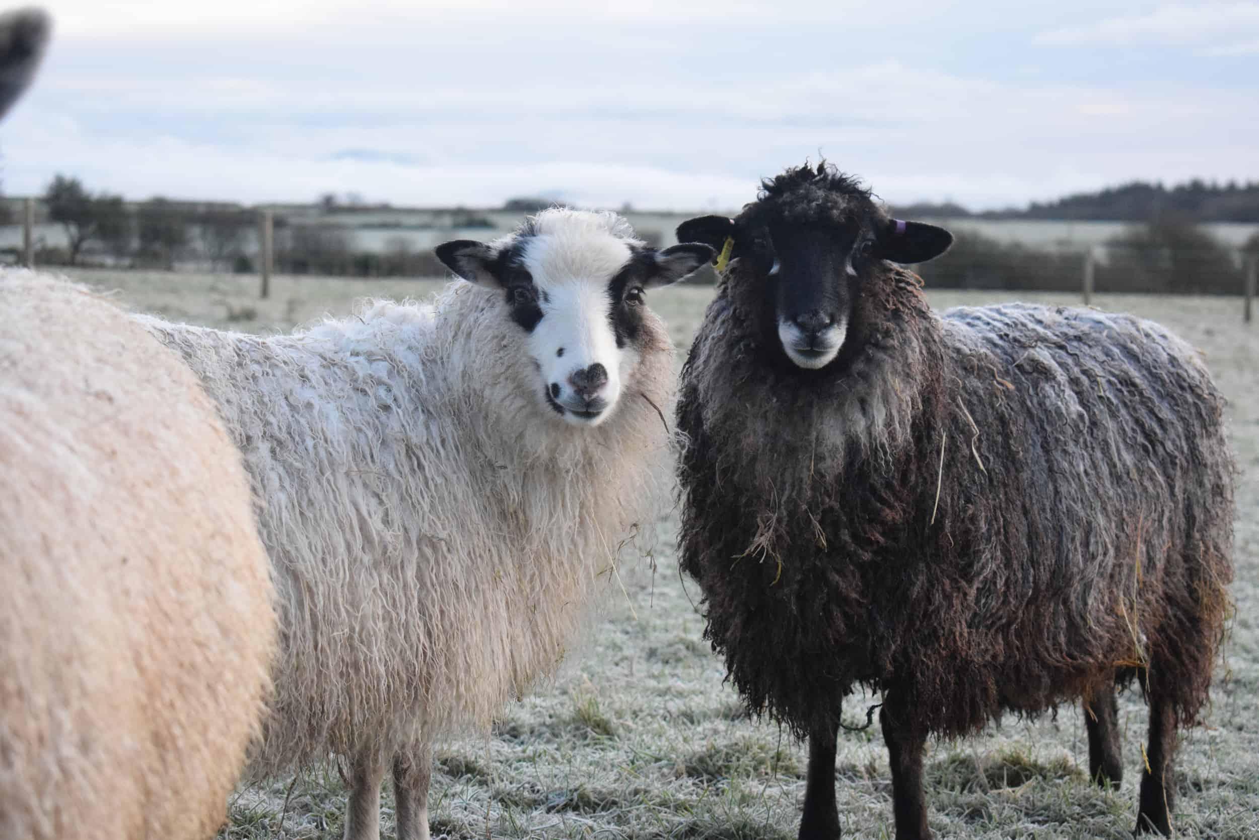Florence longwool lamb races coloured leicester longwool shetland gotland sheep ewe lamb kind fibre sheep frendly ethical wool products cross 2