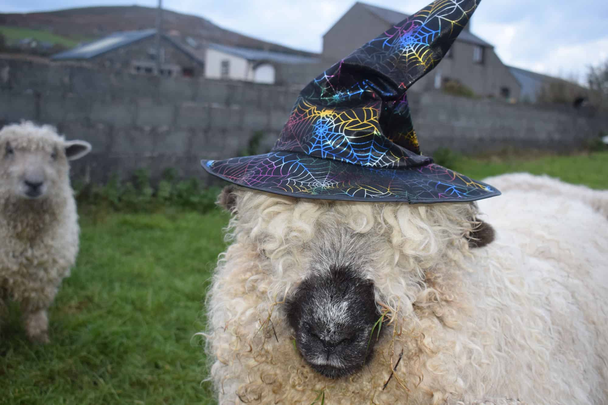 Nora valais blacknose greyface dartmoor pet sheep cuddle bear sheep patchworksheep crueltyfree felt rugs halloween
