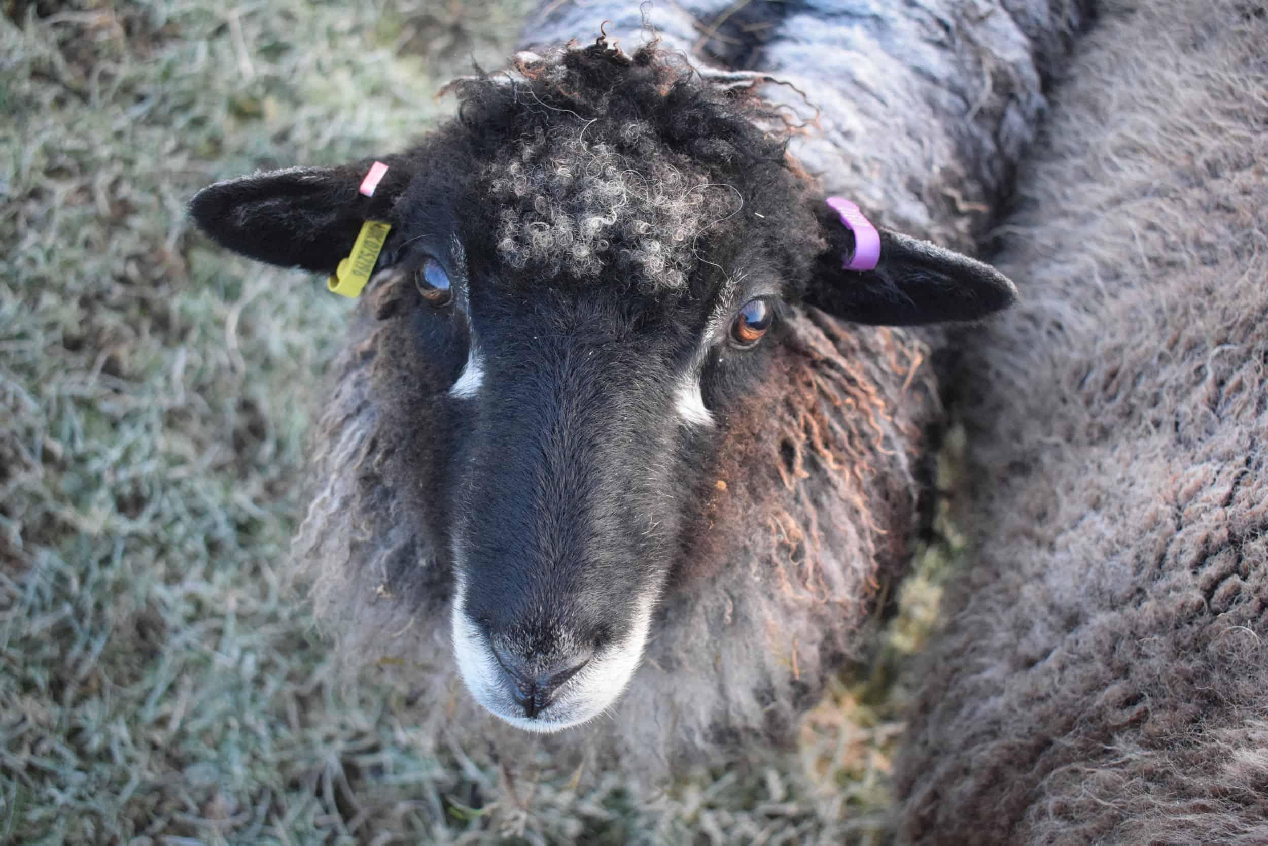 florence coloured leicester longwool gotland shetland sheep crossbreed english blue kind fibre 2