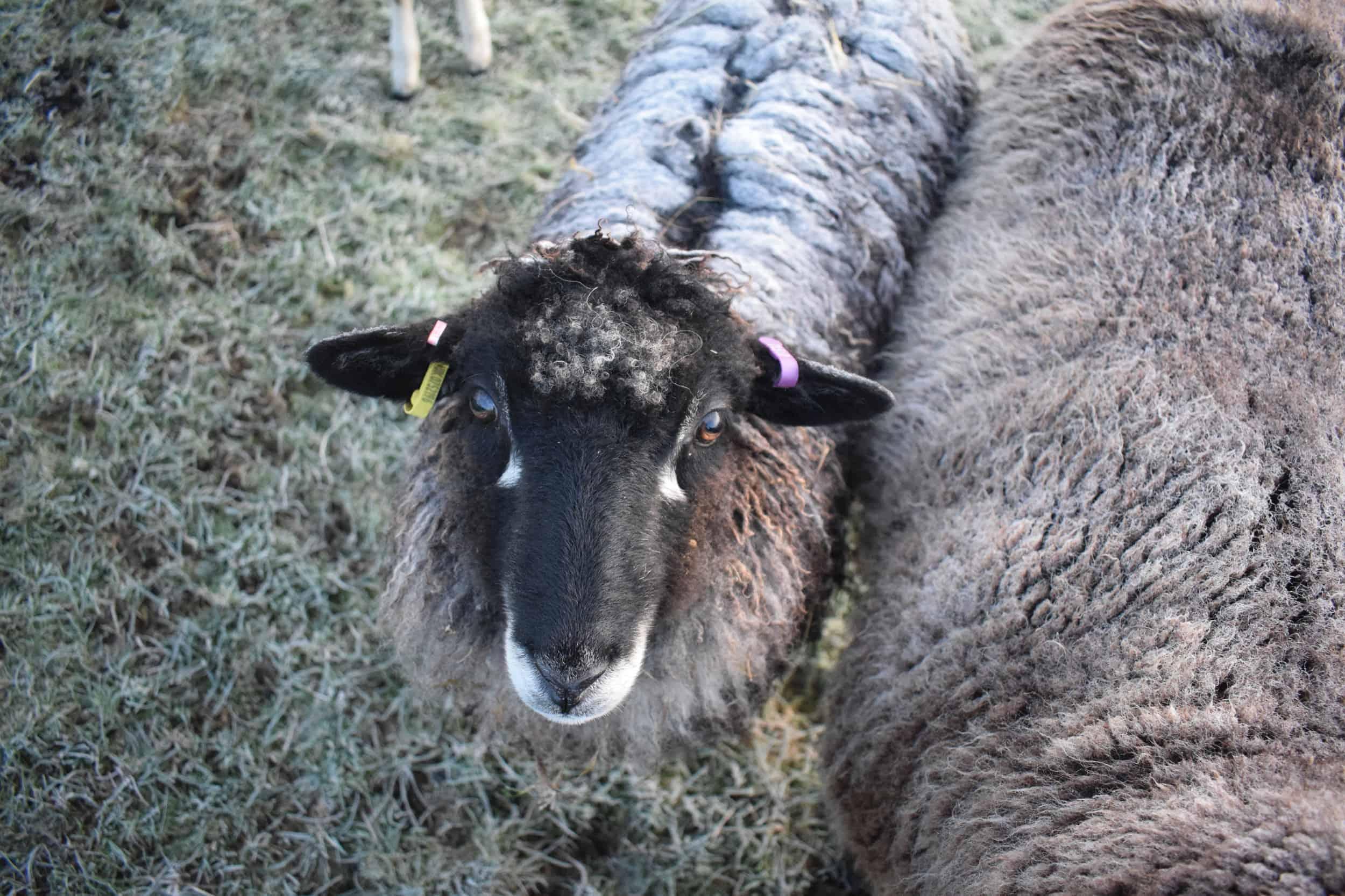 florence coloured leicester longwool gotland shetland sheep crossbreed english blue kind fibre 4