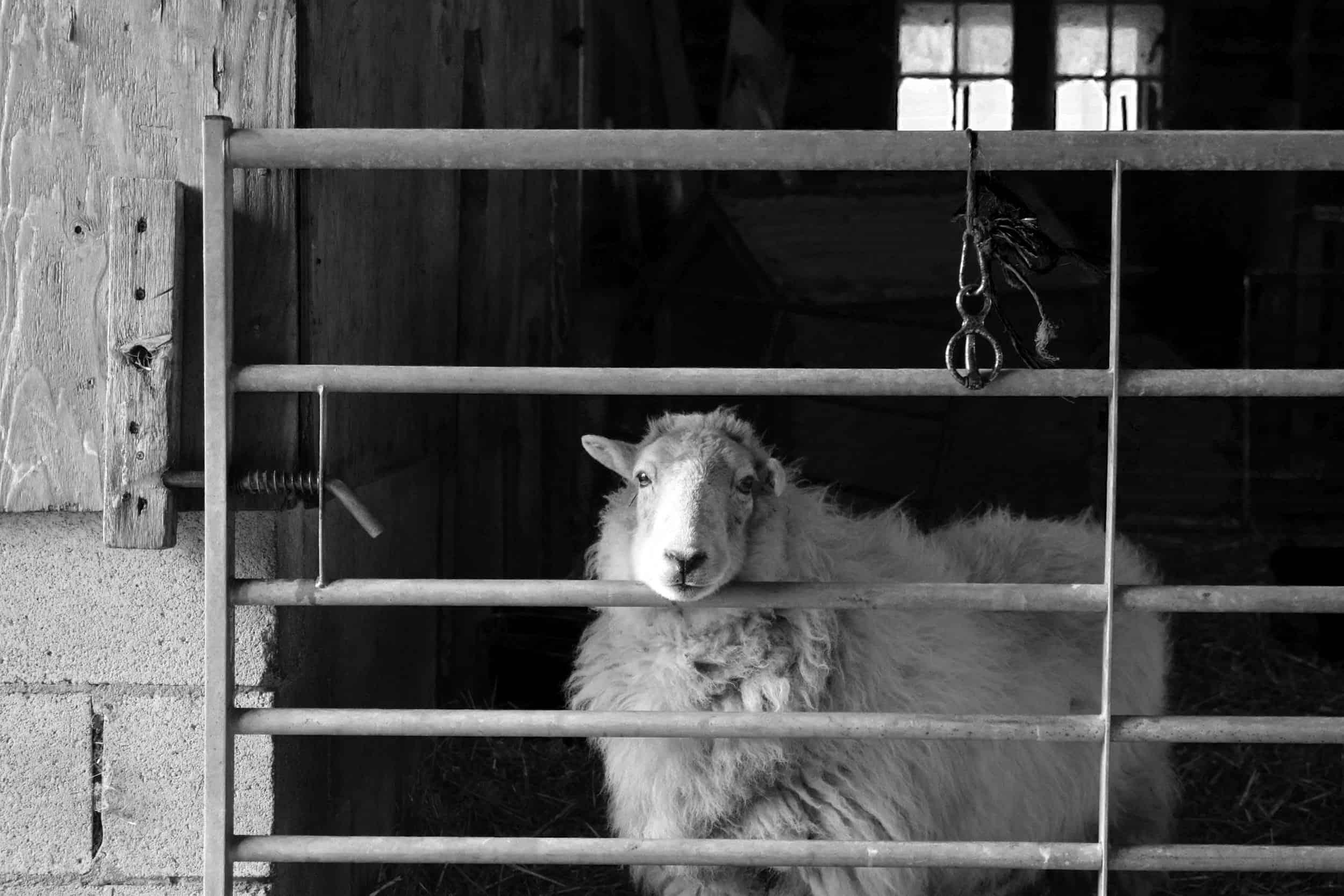 Nettle Welsh mountain hill sheep ewe old welsh wool rugs woven handmade