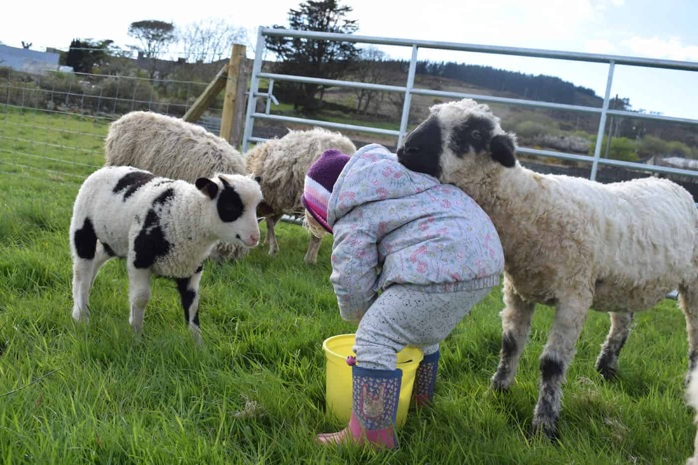Doris valais blacknose silvernose greyface dartmoor cross sheep [et cute teddy bear wool rug 5