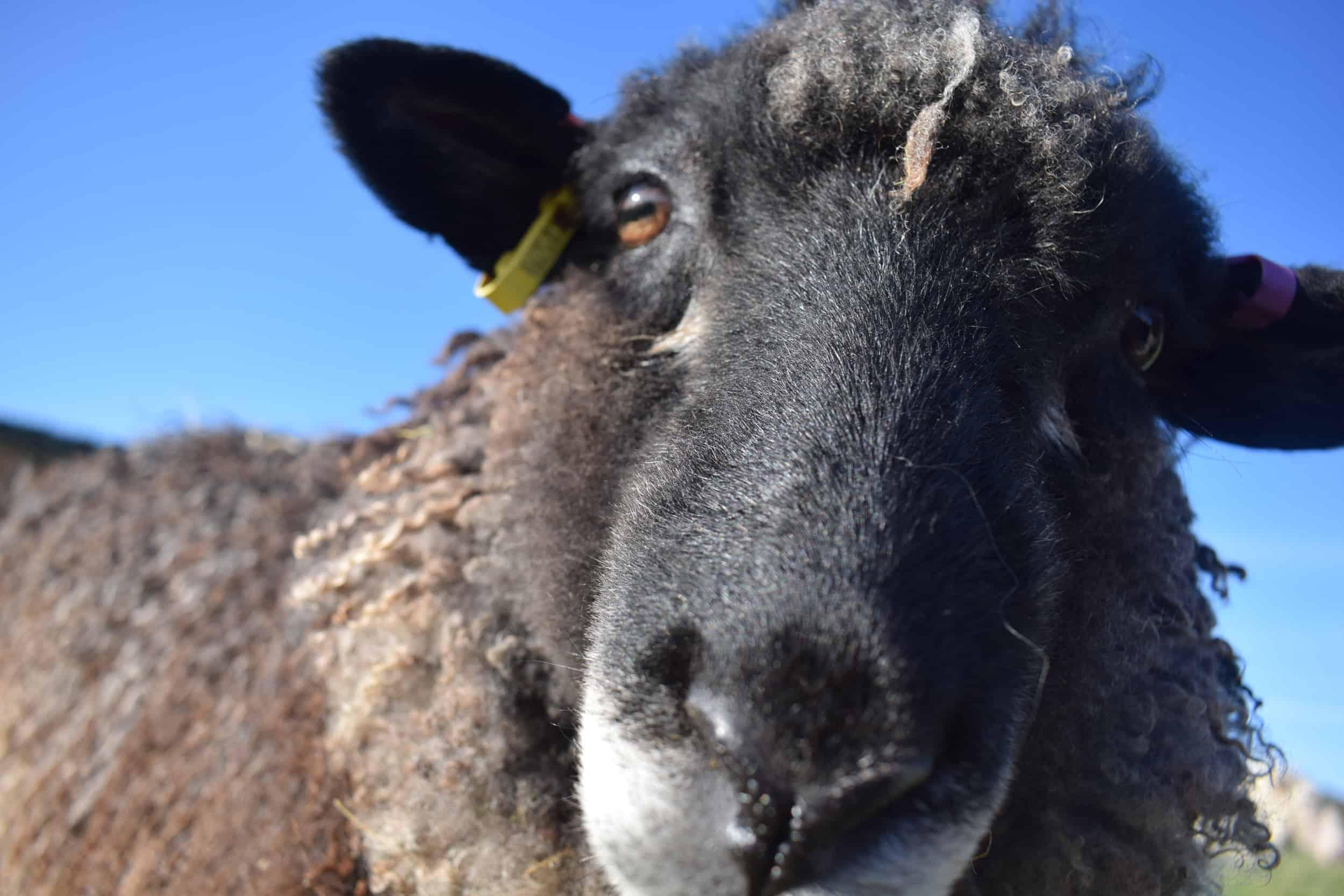 Florence longwool lamb races coloured leicester longwool shetland gotland sheep ewe lamb kind fibre sheep frendly ethical wool products cross