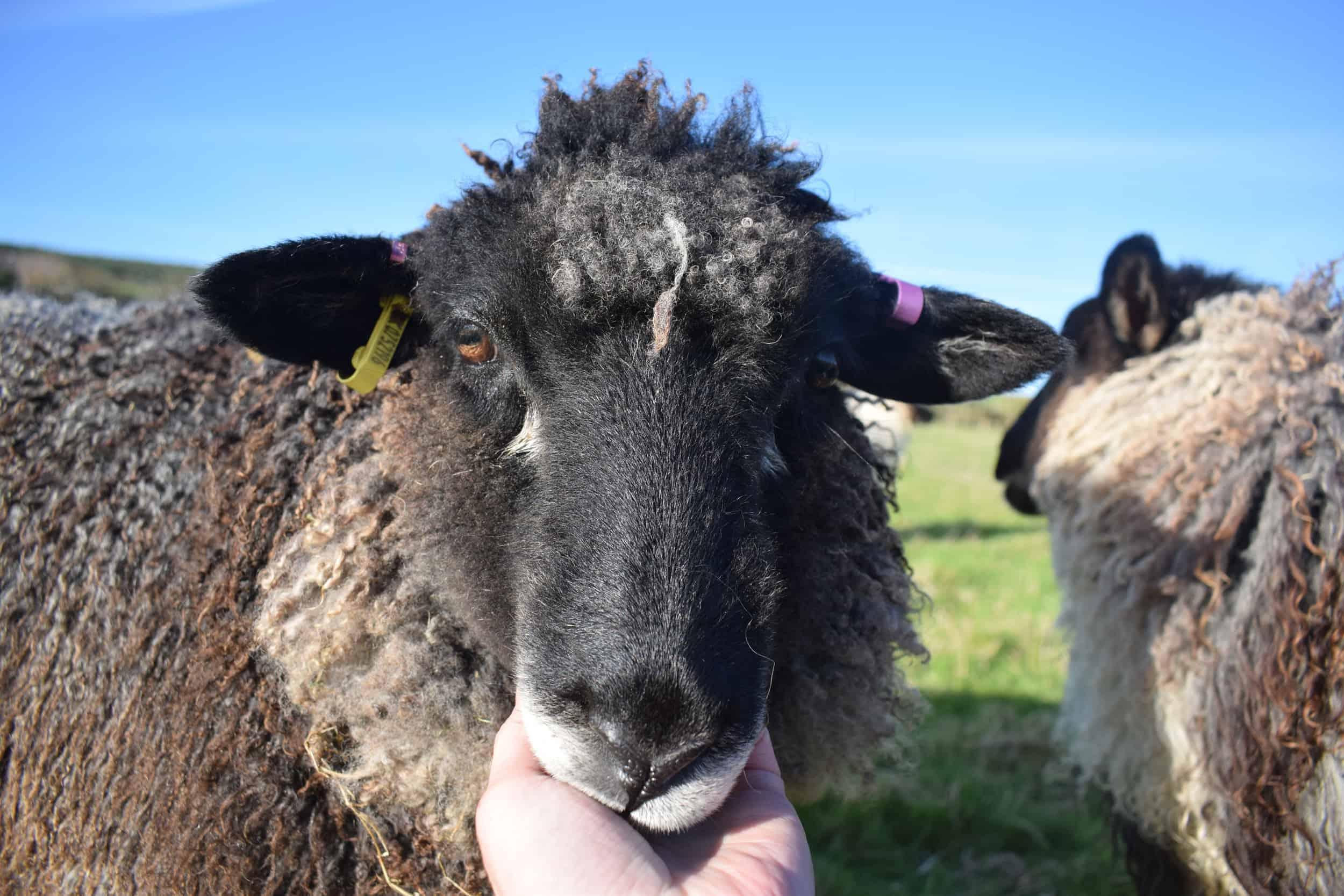 florence coloured leicester longwool gotland shetland sheep crossbreed english blue kind fibre 1